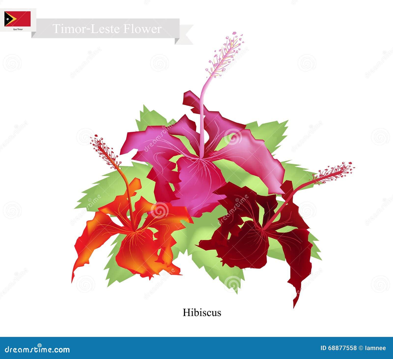 National Flower Of Timor Leste Hibiscus Flowers Stock Vector