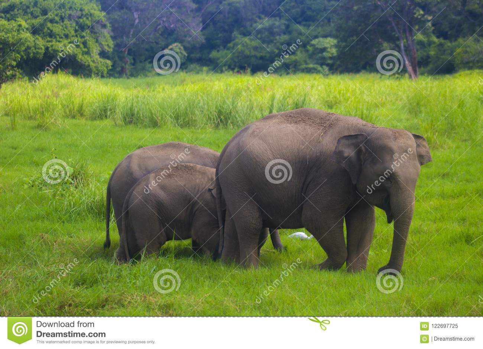 Nationalpark för asiatisk lös Eliphant - Sri Lanka minneriya