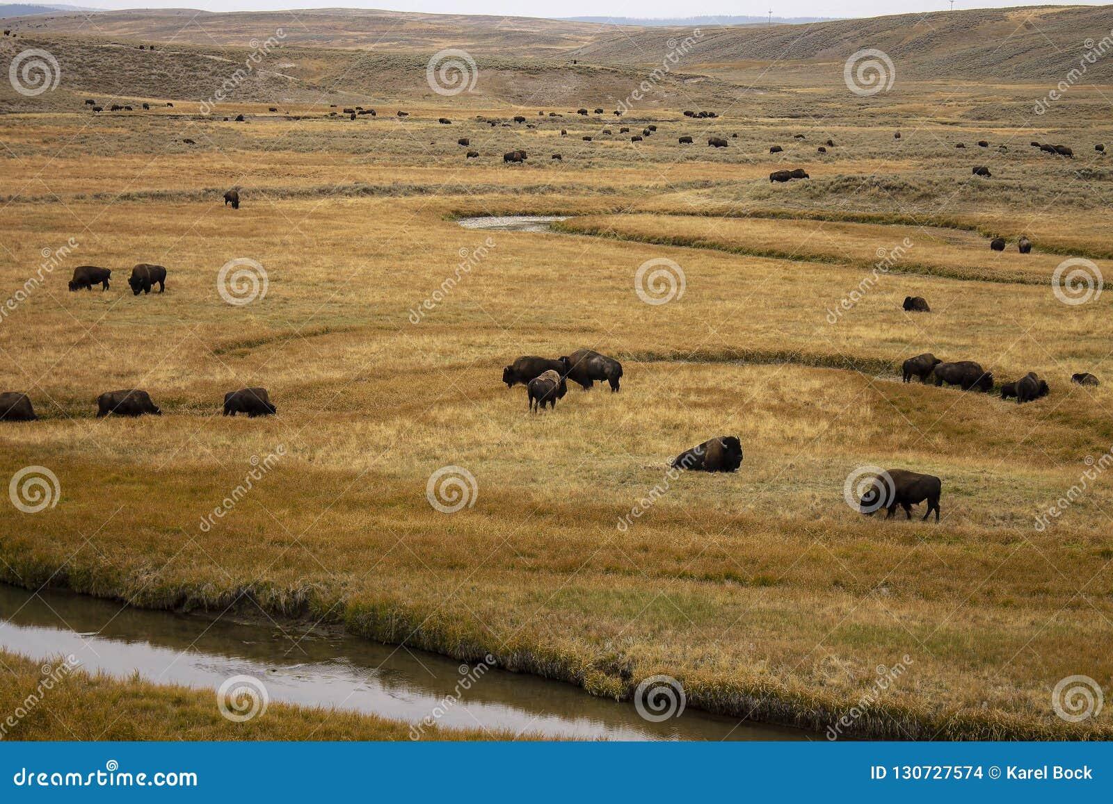 Nationalpark yellowstone för amerikansk bison