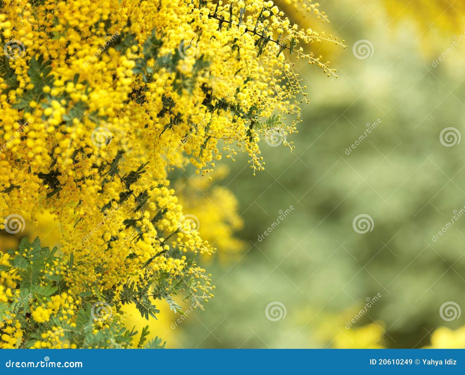 The native australian flower stock image image of golden the native australian flower mightylinksfo