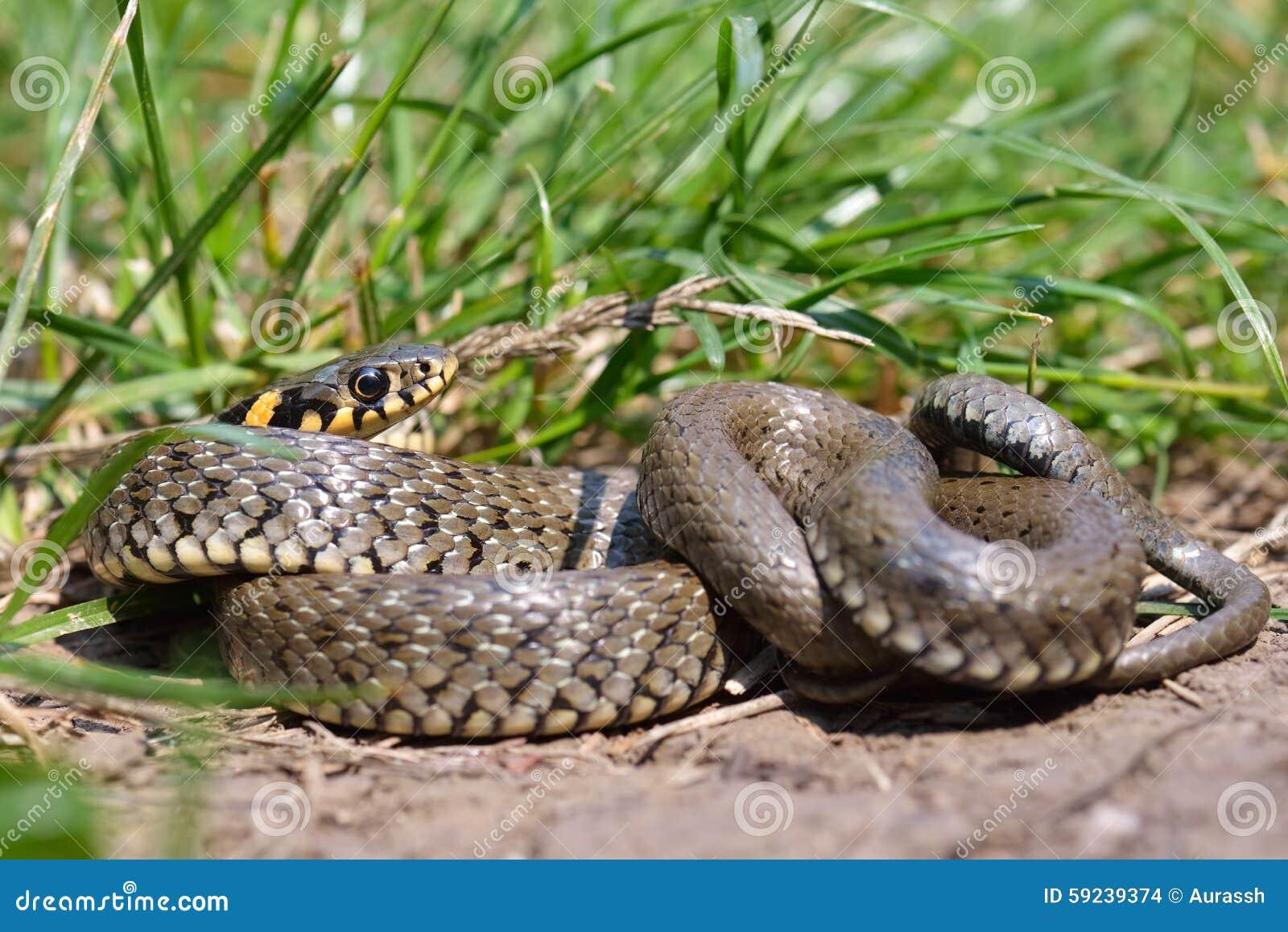Download Natrix Del Natrix O Serpiente De Hierba En El Ambiente Natural Foto de archivo - Imagen de mano, escamoso: 59239374