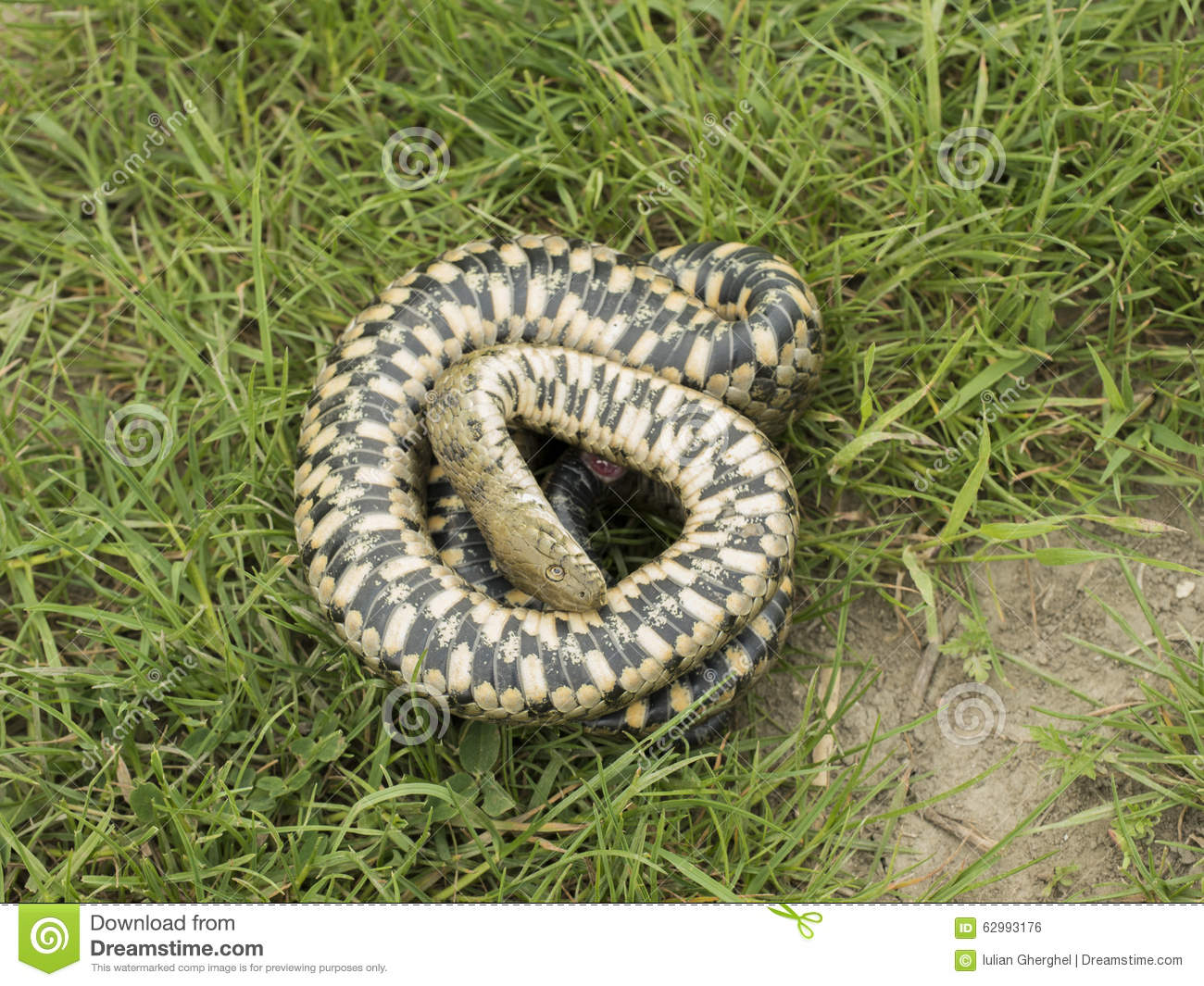 Natrix Tessellata - Dice Snake - Royalty Free Stock Images - Image ...