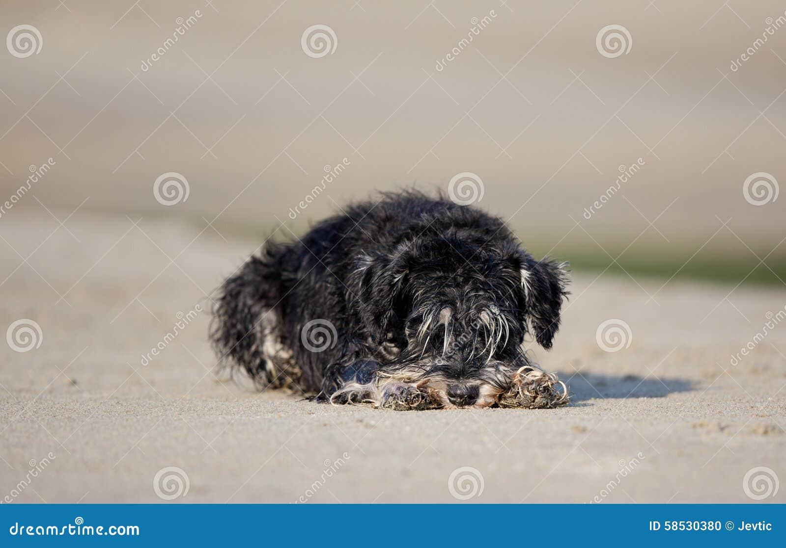 Natte hond die op strand rusten