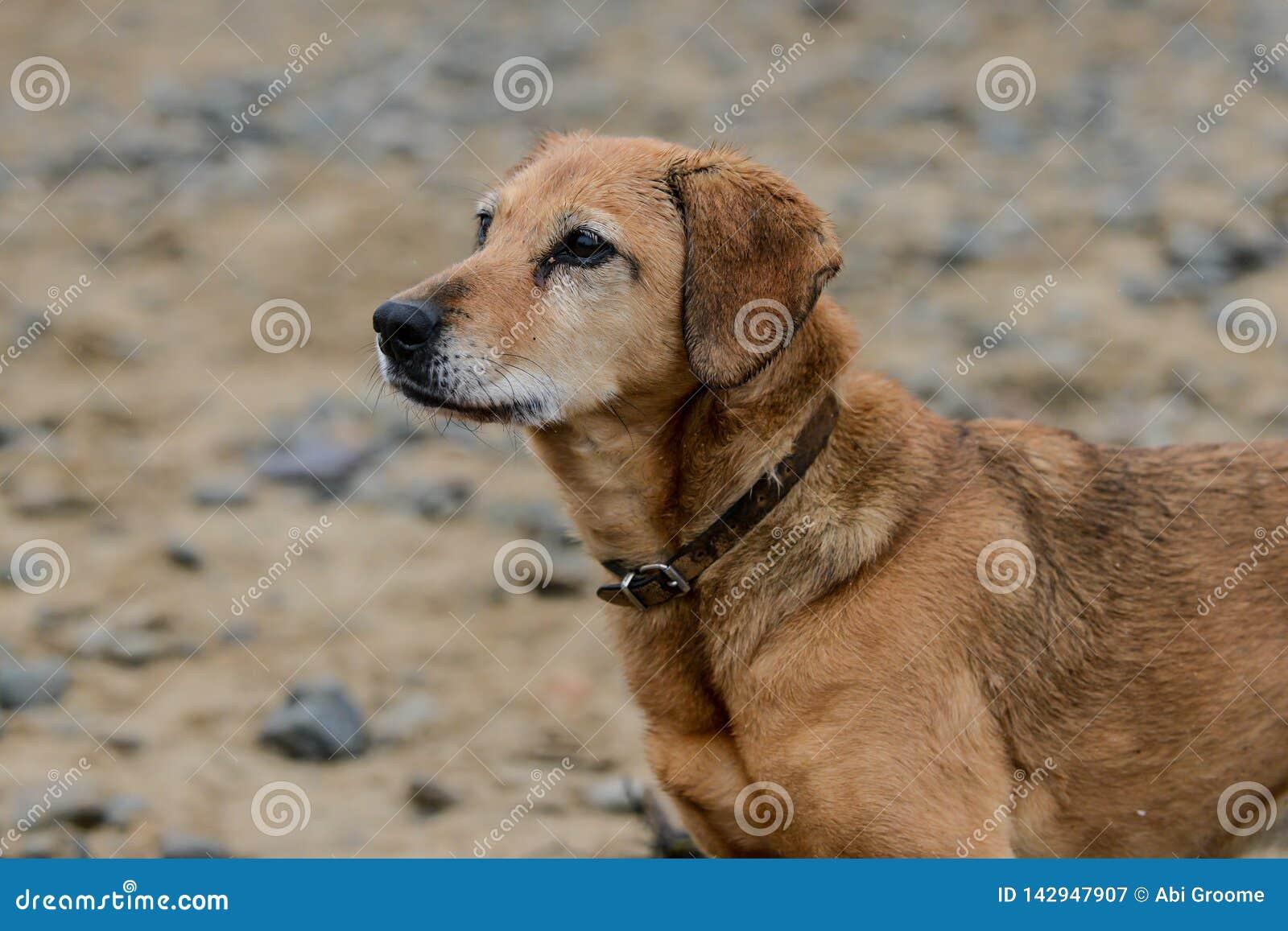 Natte hond na een harde dag bij het strand