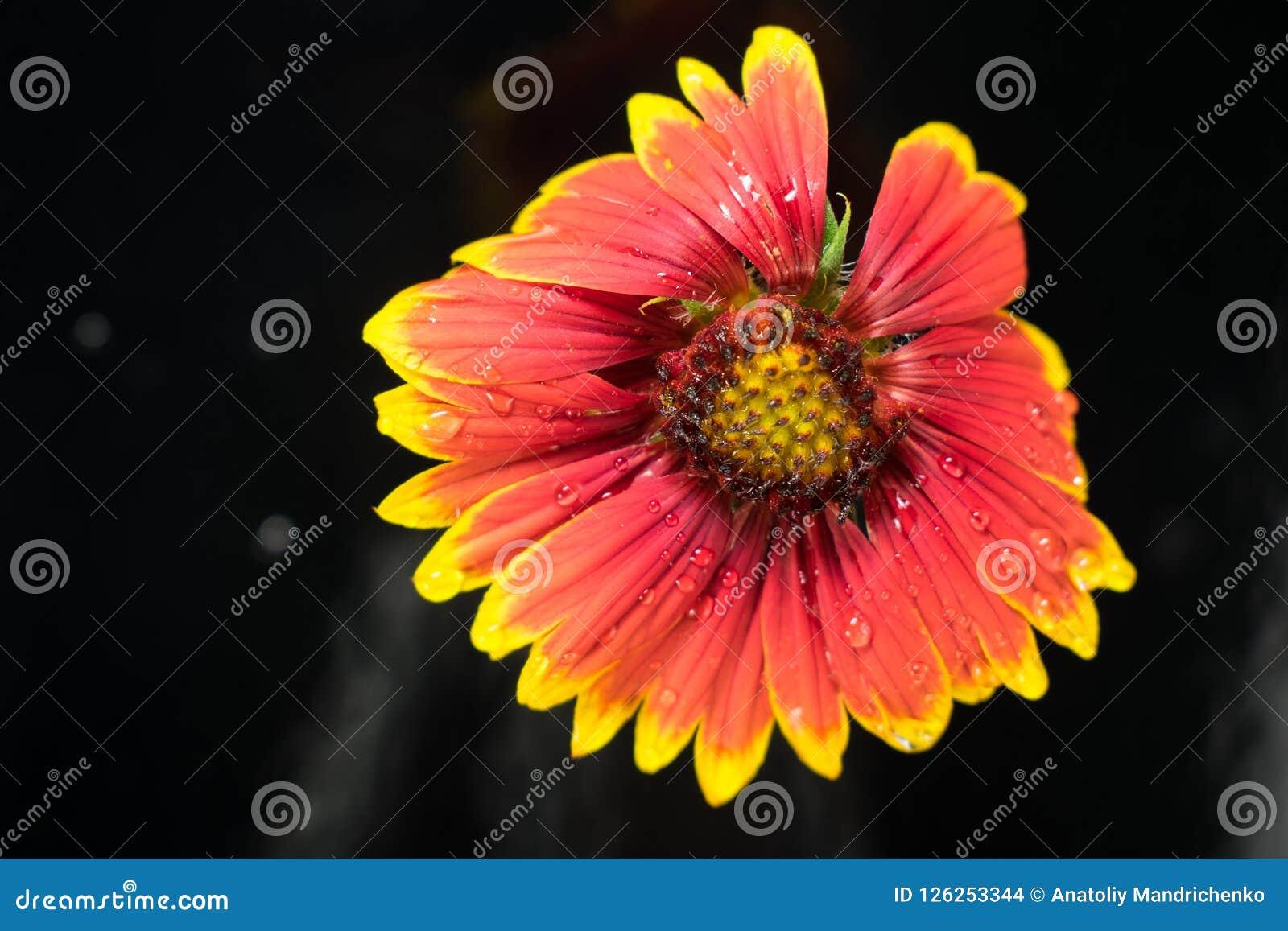 Natte rood-gele bloem