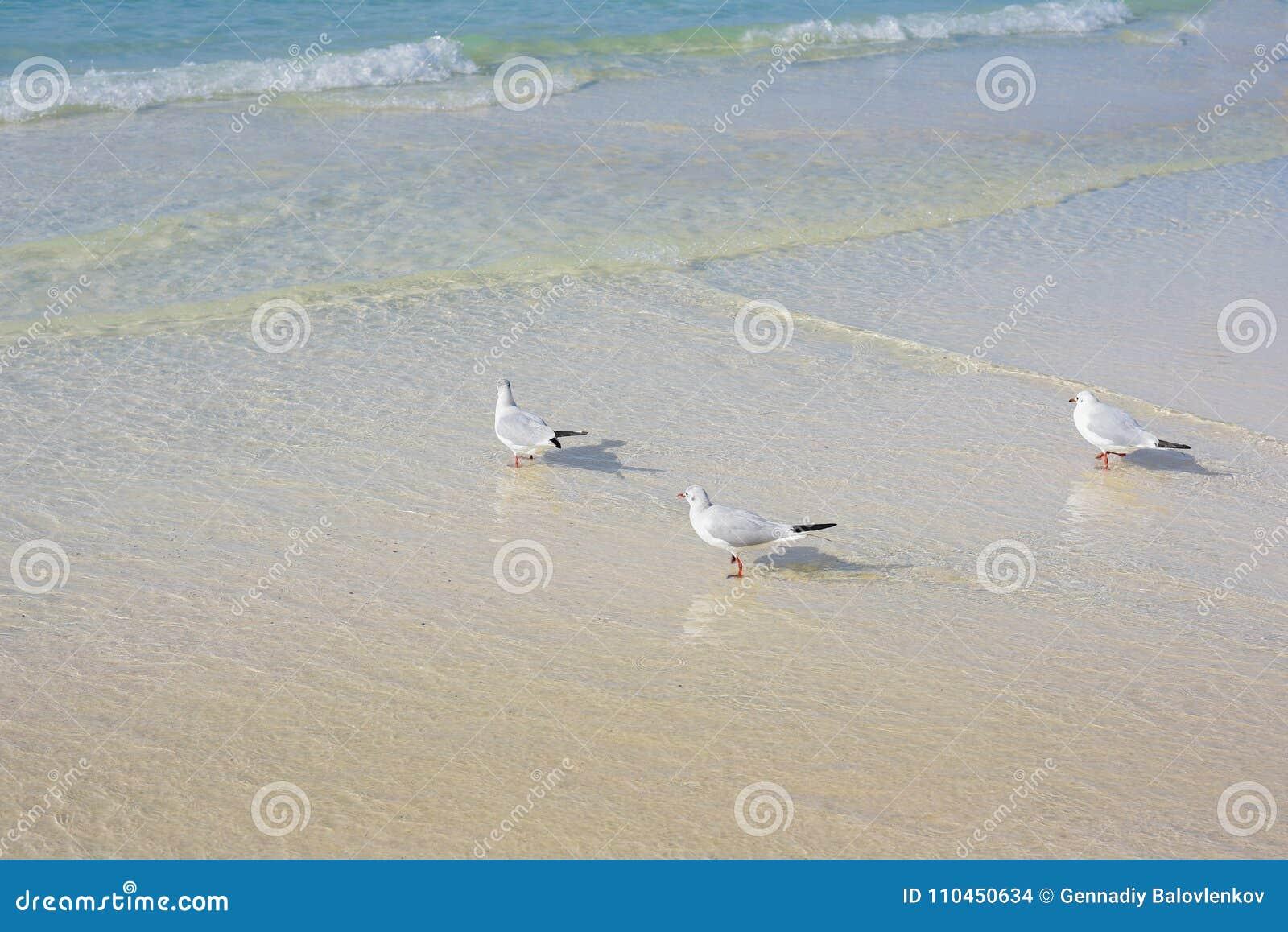 Natur av fåglar, havsfiskmåsar på stranden av Persiska viken