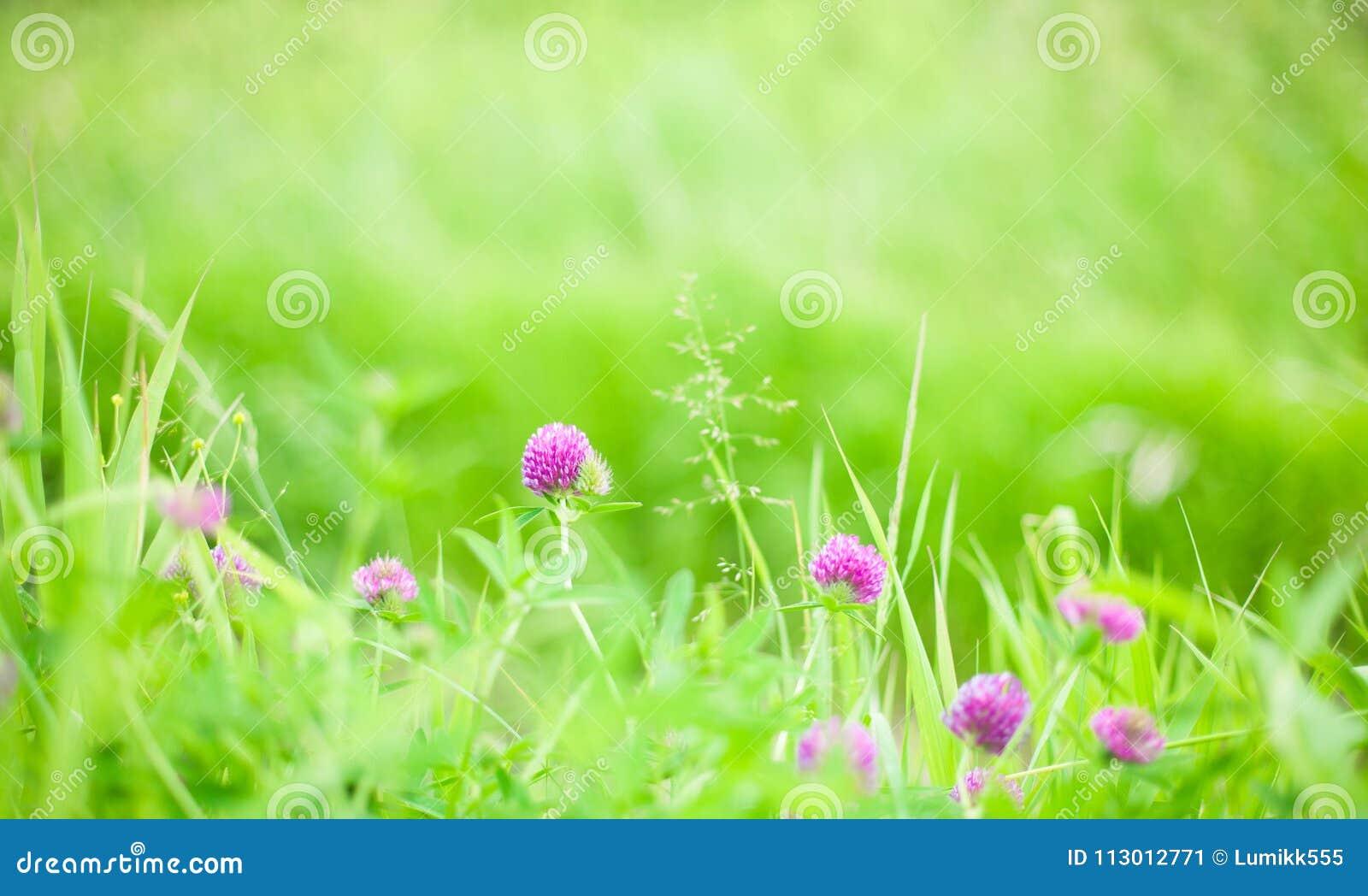 Natur-Sommer-Hintergrund mit Klee Blumen