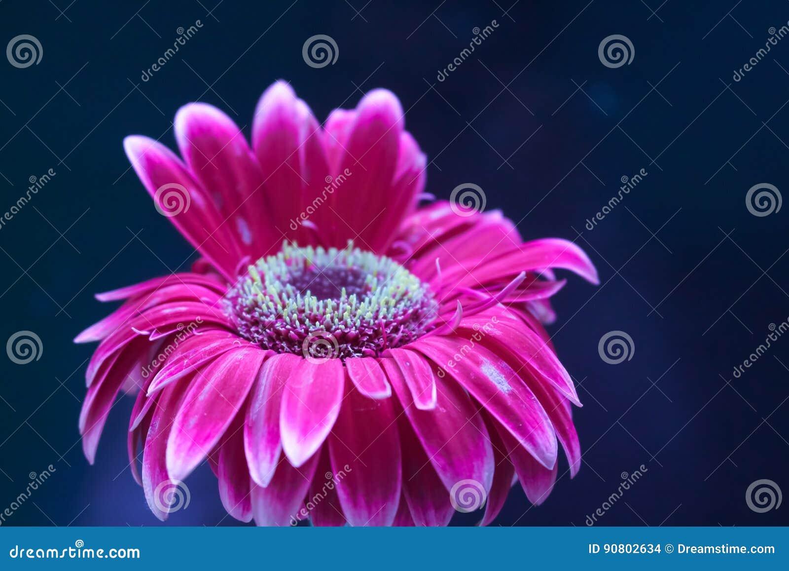 Natura del giardino del fiore della gerbera bella