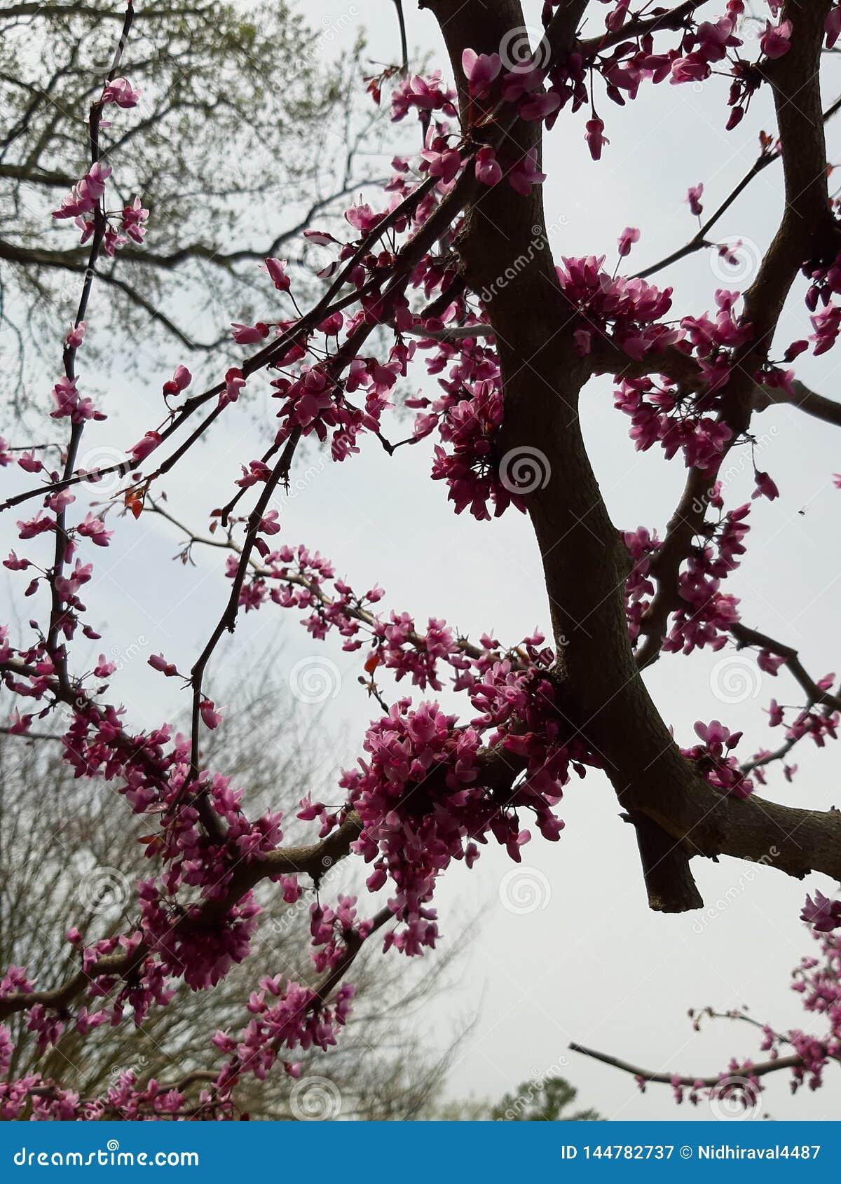 Natura, drzewo, kwiaty, menchie, okwitnięcie