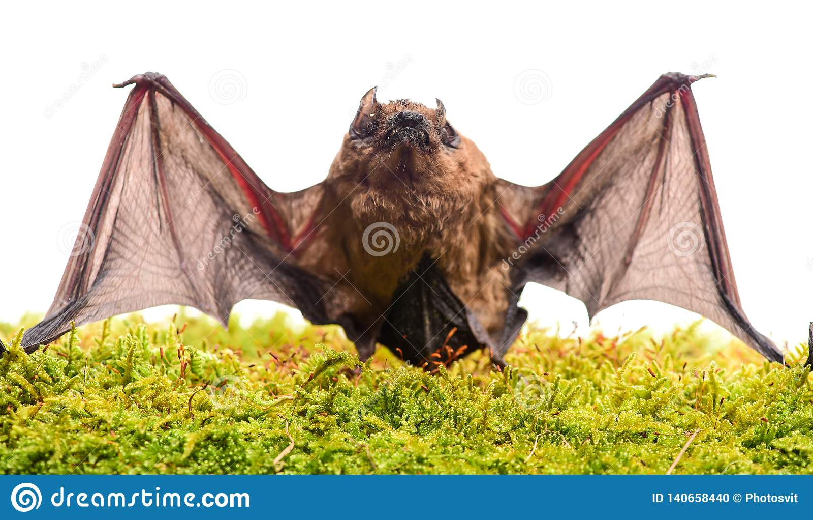 Natura selvaggia Forelimbs adattati come ali Mammiferi naturalmente capaci del volo vero e continuo Il pipistrello emette ultraso