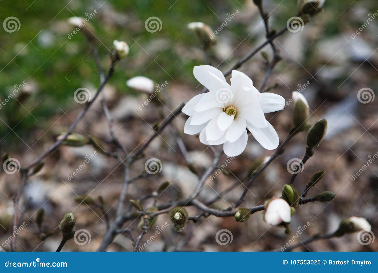 Natura stupefacente della magnolia bianca nell ambito di luce solare al mezzo del giorno della primavera o di estate
