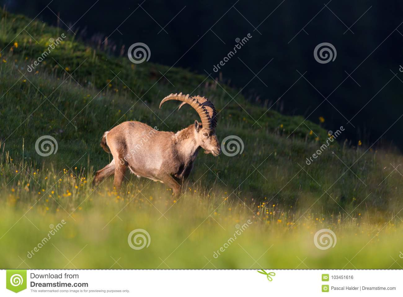 Natural adult male alpine capra ibex capricorn in evening light