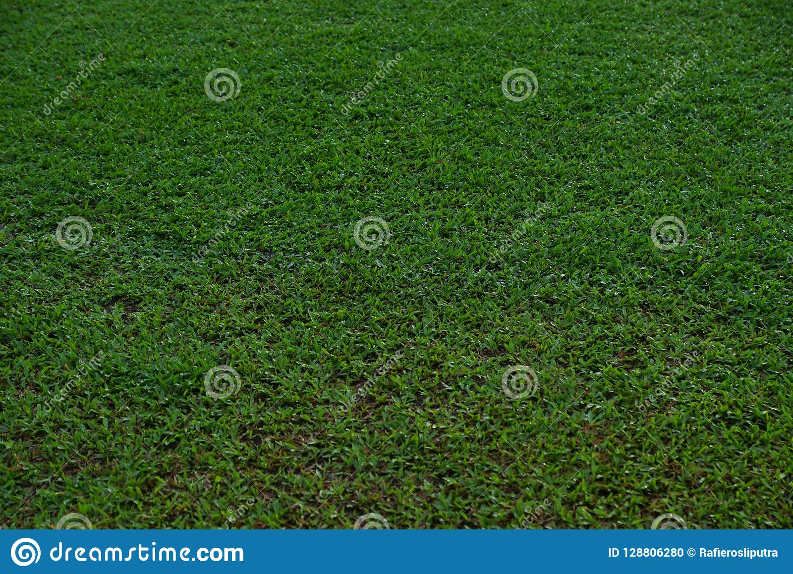 Natural asian green grass closeup in the morning