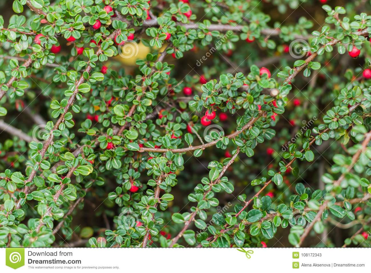 Bush With Green Leaves And Red Berries Stock Image Image Of