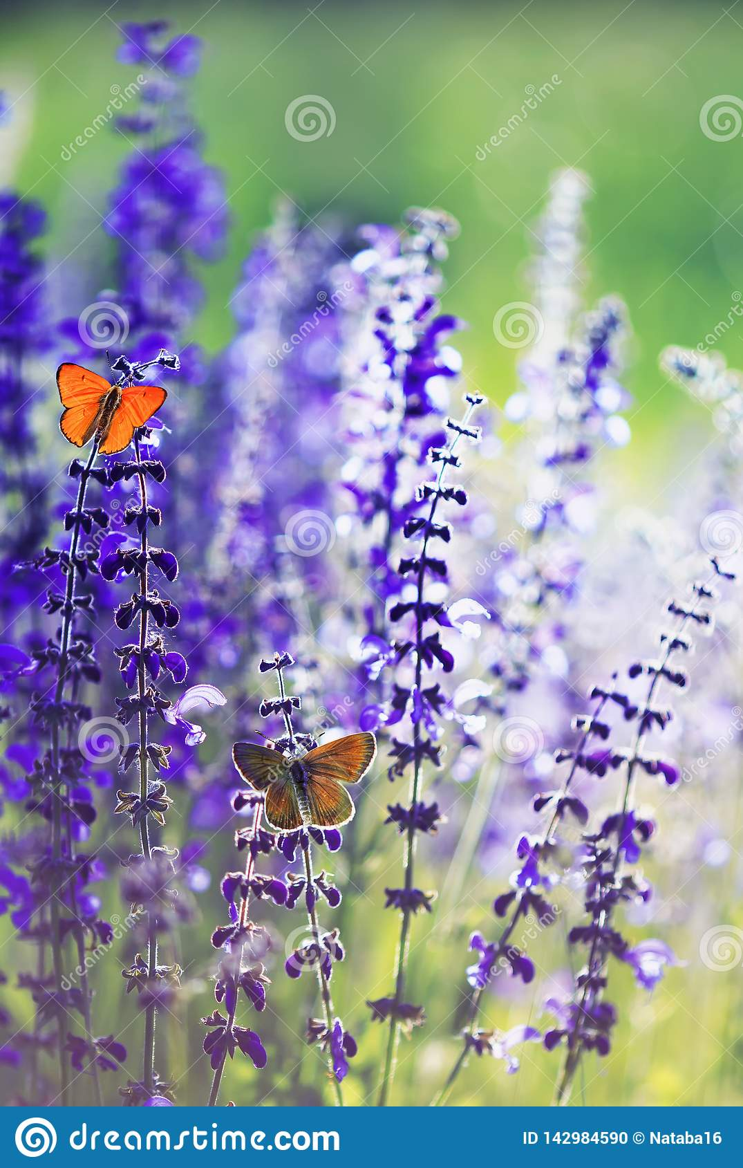 Natural background with two small bright orange butterfly Blues sitting on purple flowers in summer Sunny day on a rural meadow