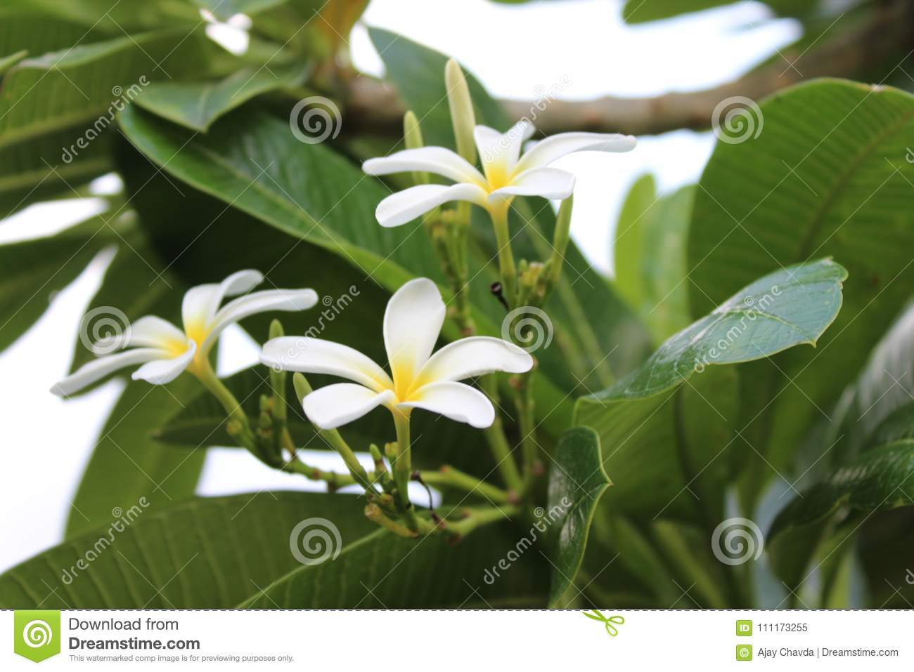 White Flower And Green Big Leaf Stock Image Image Of Delicate
