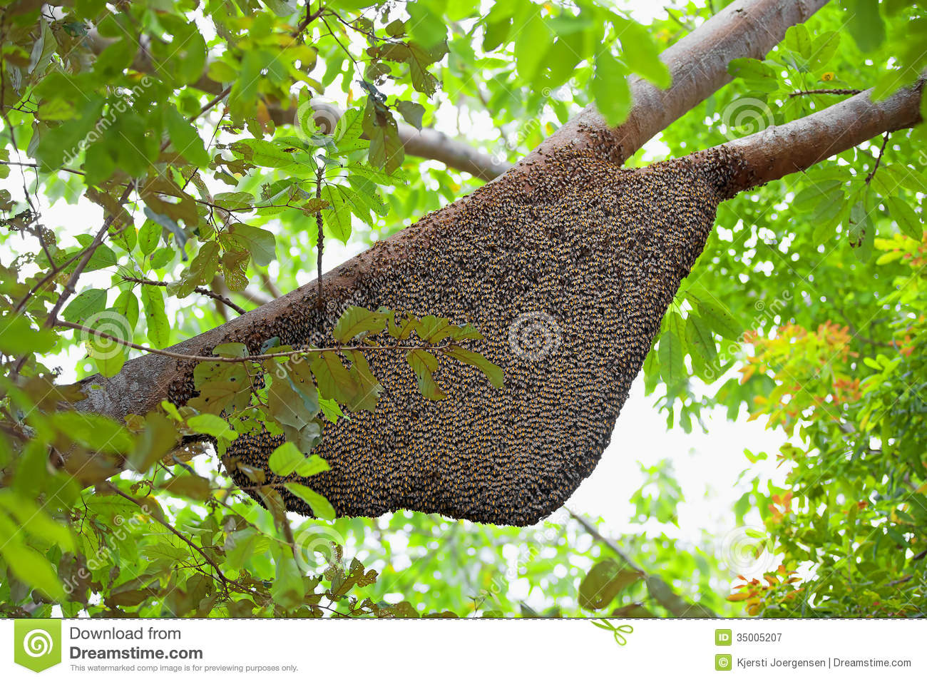 large natural beehive hanging from a tree mr no pr no 0 760 0