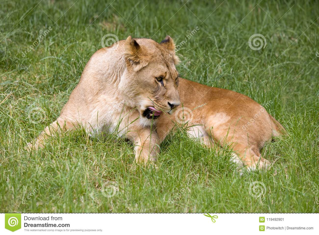 African lioness grooming