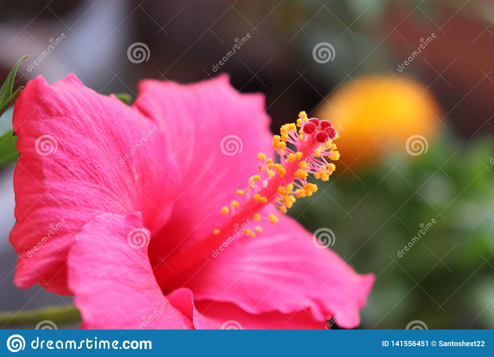 Natural Close Up Hibiscus Flower Pic Stock Image Image Of Small Different 141556451