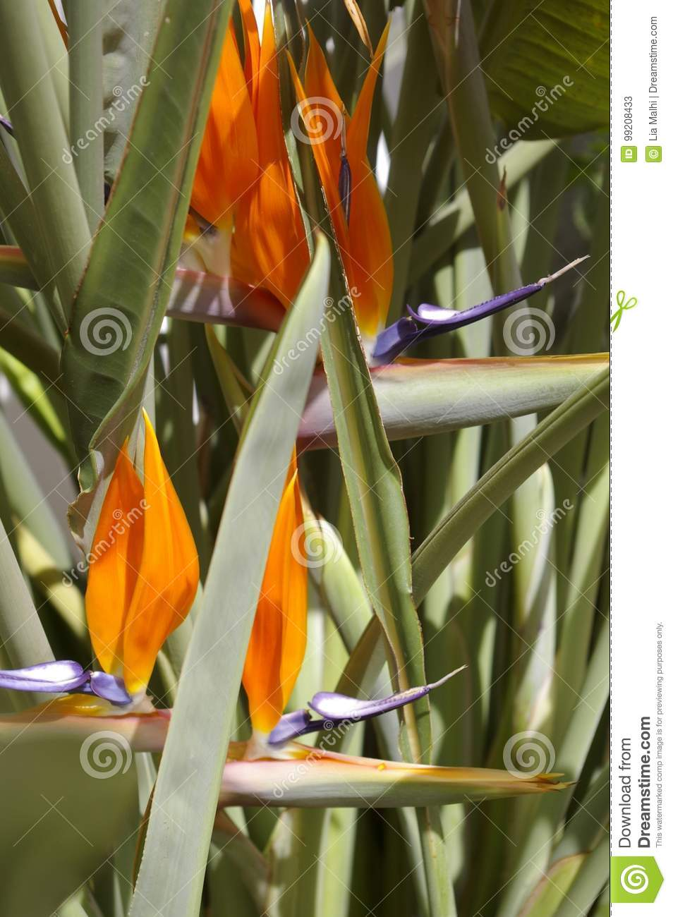 flower bird of paradise stock image image of geometric 99208433