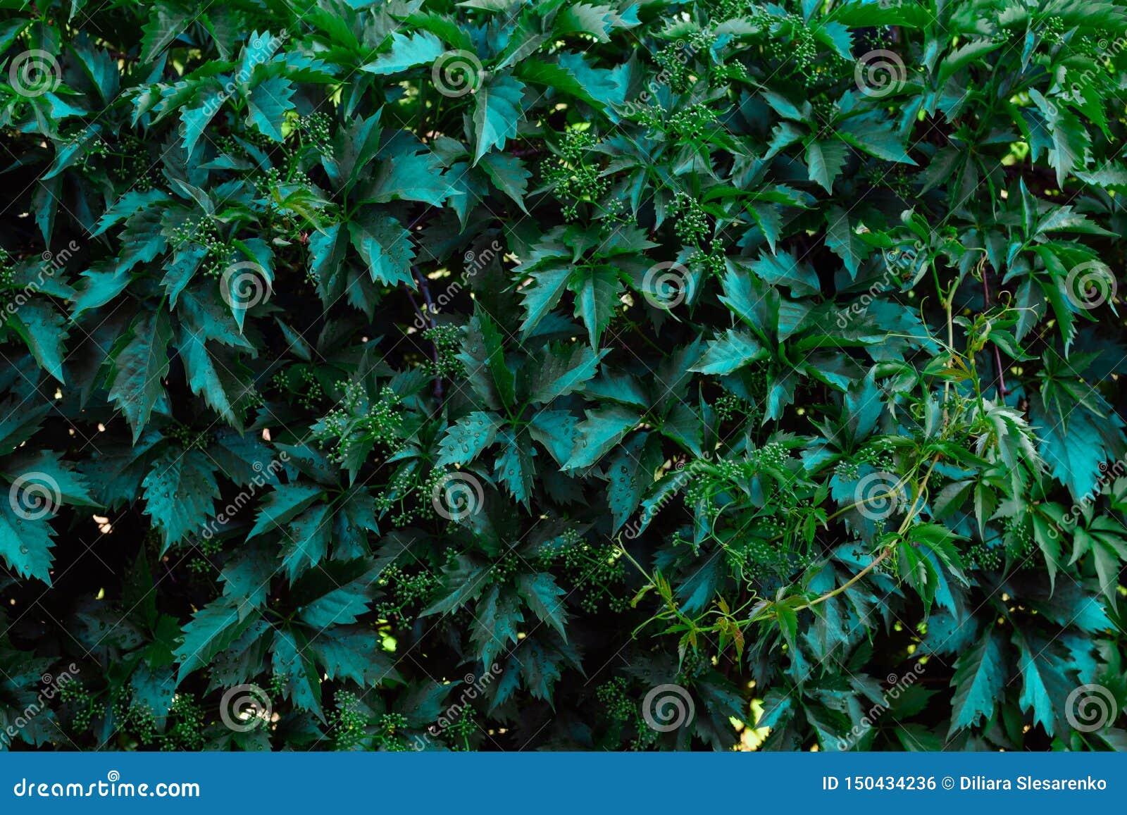 Natural dark greengrape leaves for background