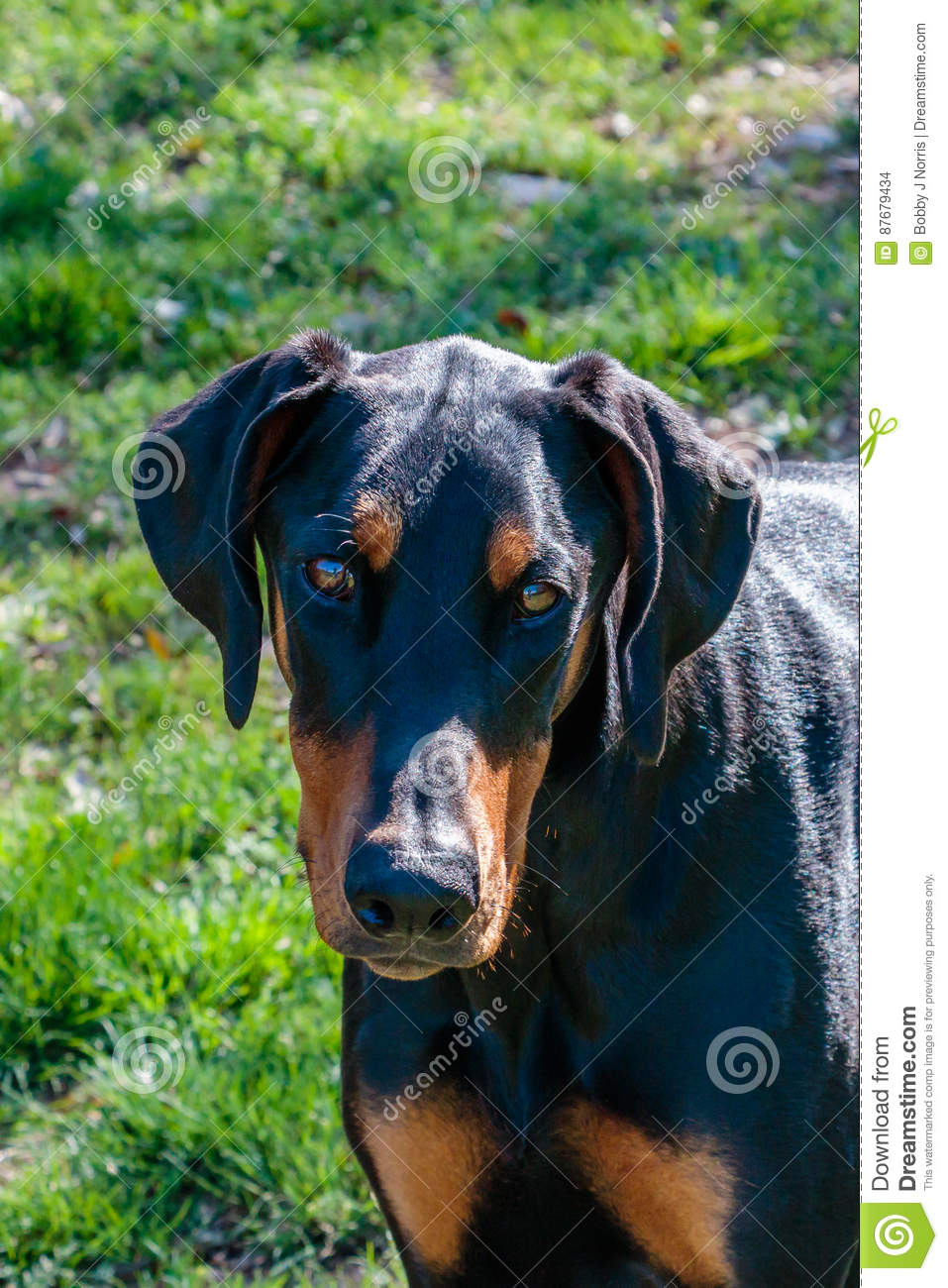Natural Ear Doberman Head Shot Stock Photo Image Of Black
