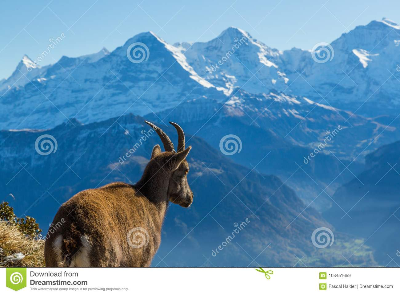 natural female alpine ibex capricorn looking at Eiger, Monch, Jungfrau in bernese alps