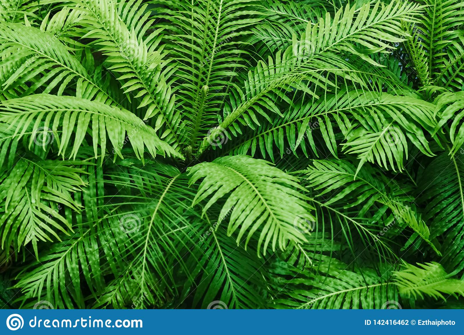 Natural fern textured pattern. Beautiful green fern leaves background. Ornamental green plant tropical rainforest background