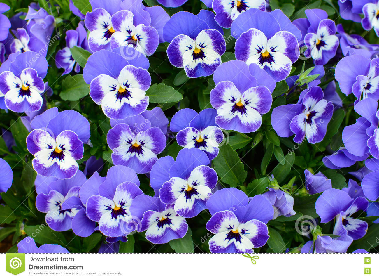 Natural Floral Background Of Purple Pansy Flowers Stock Image