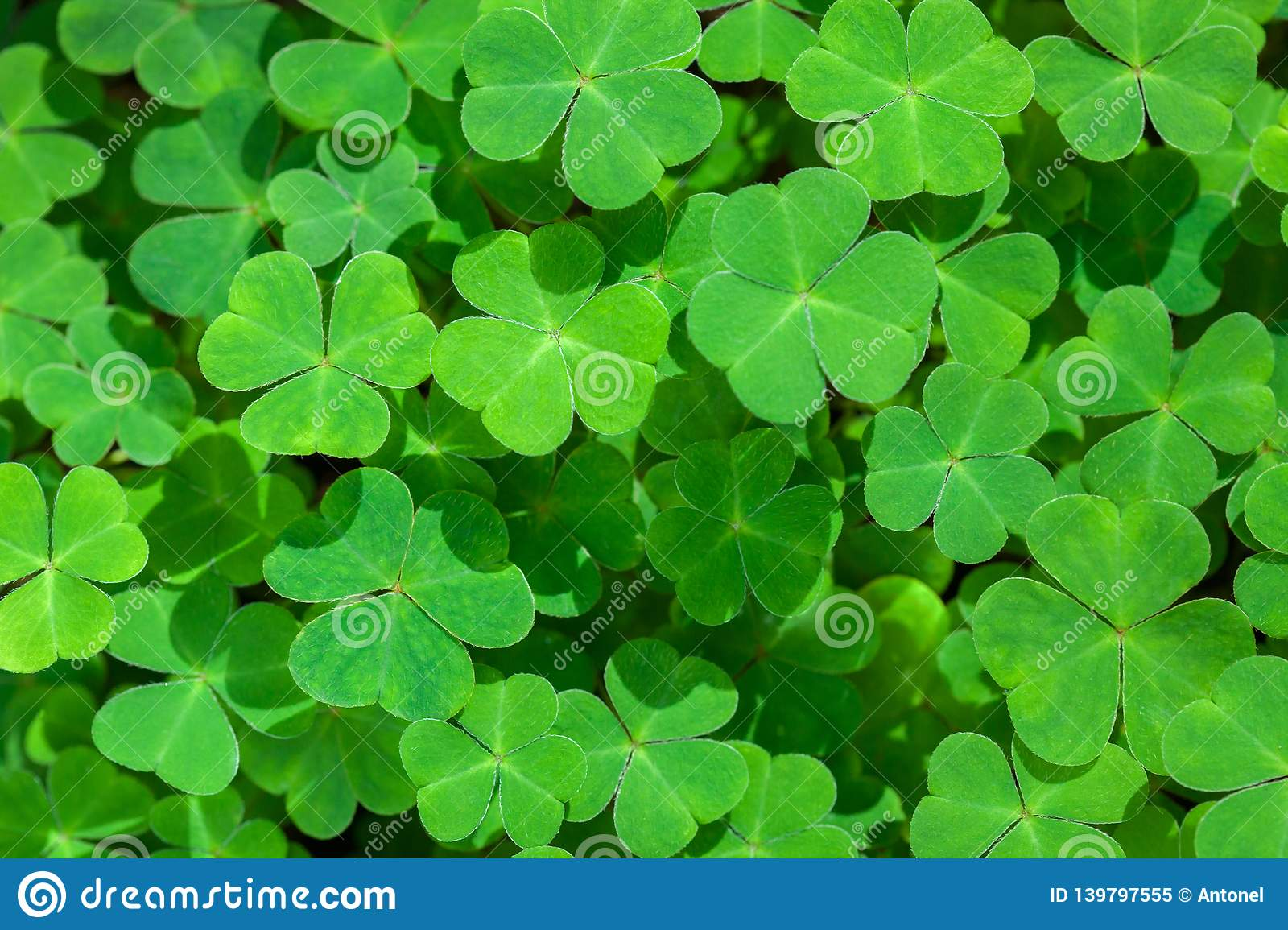 Natural green background with fresh three-leaved shamrocks. St. Patrick`s day holiday symbol. Top View