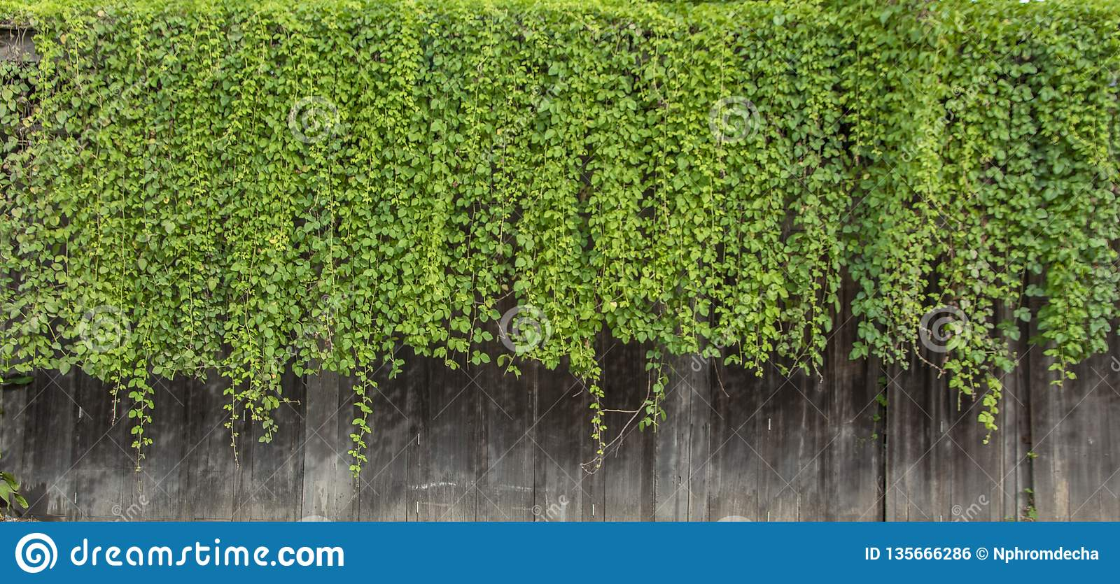 Natural green ivy vine plants wall from wood canopy