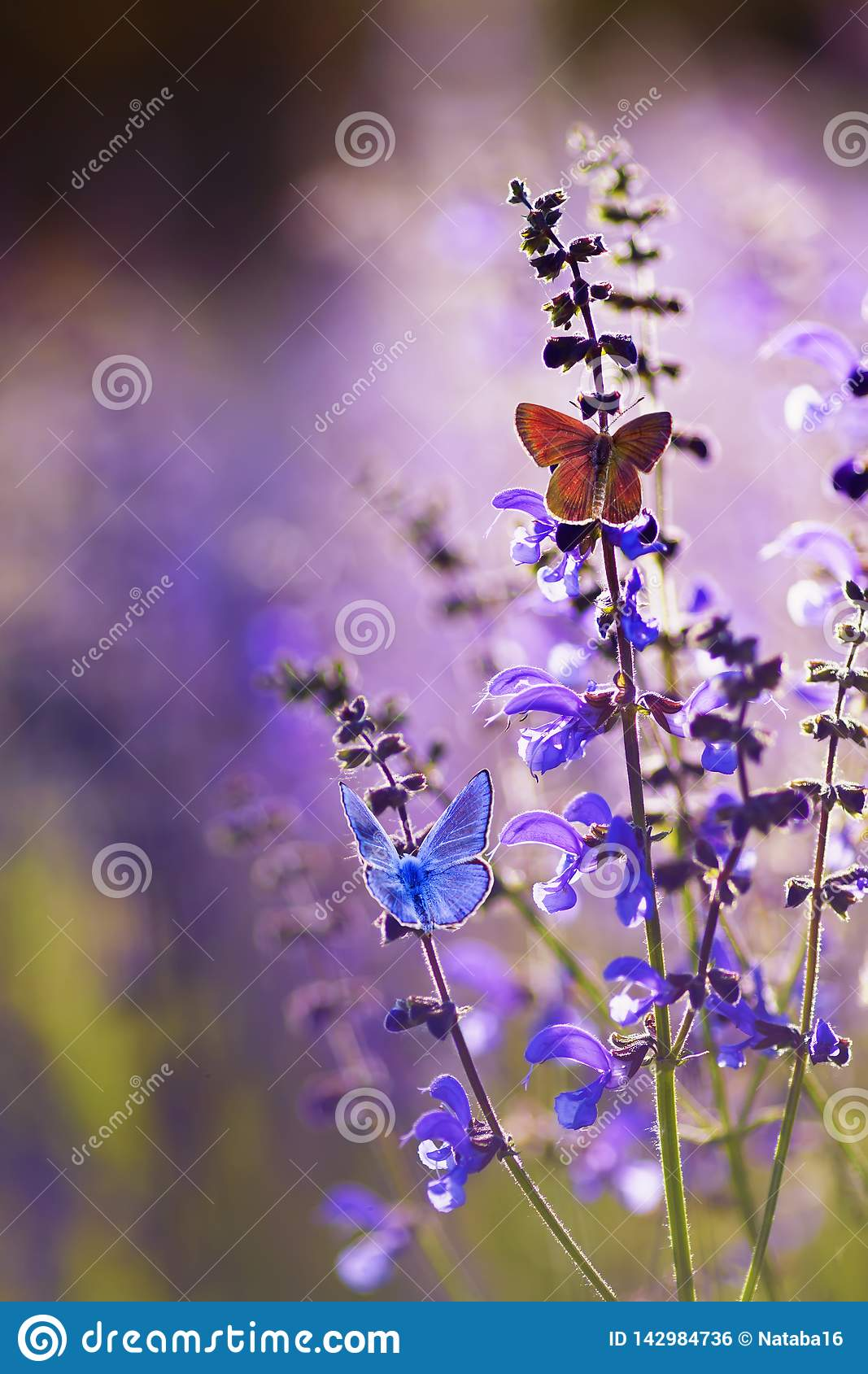 Natural greeting card with two small bright orange and blue butterflies pigeon sitting on purple flowers on a Sunny summer day in
