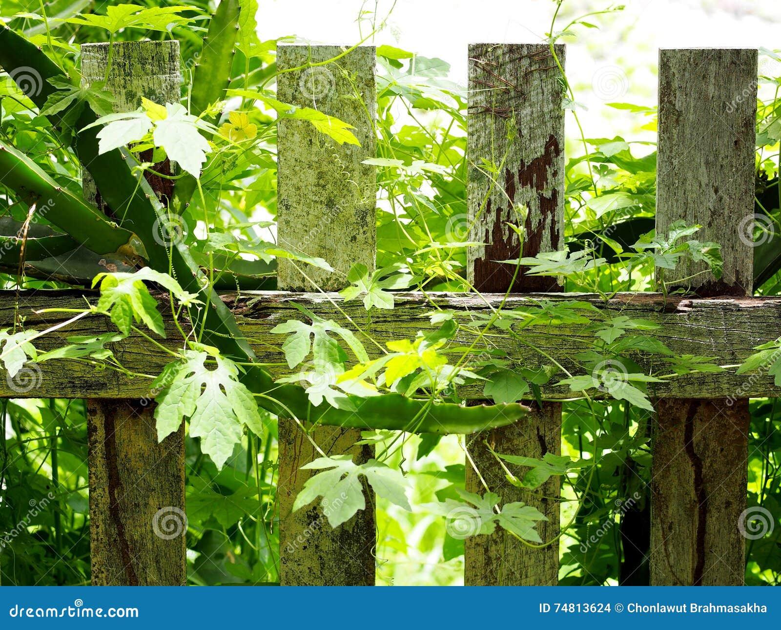 Natural Growth Tropical Herbal Medicine Creeping Plant Stock