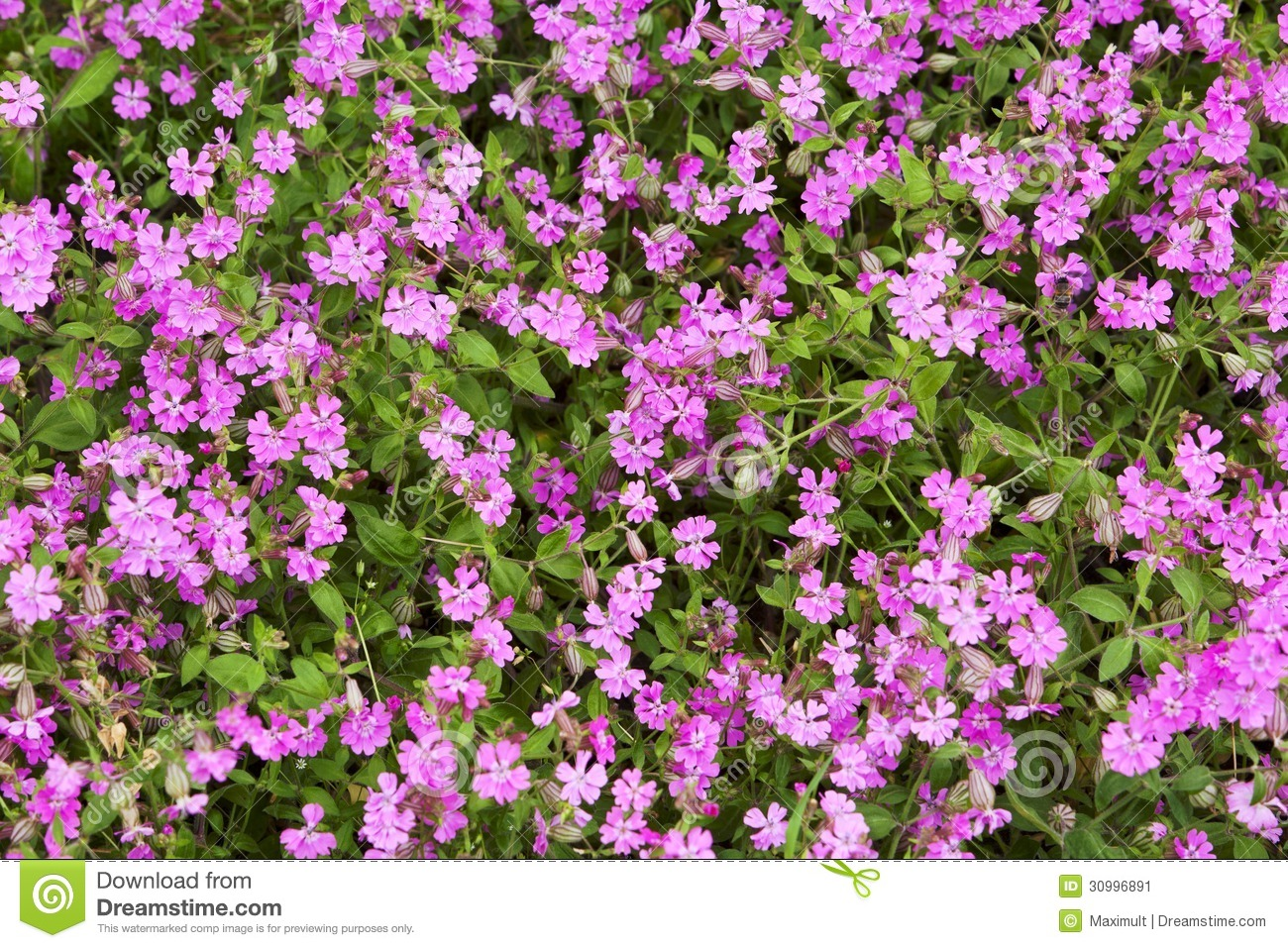 Natural herbal background small pink flowers stock image image of download natural herbal background small pink flowers stock image image of gardening flower mightylinksfo