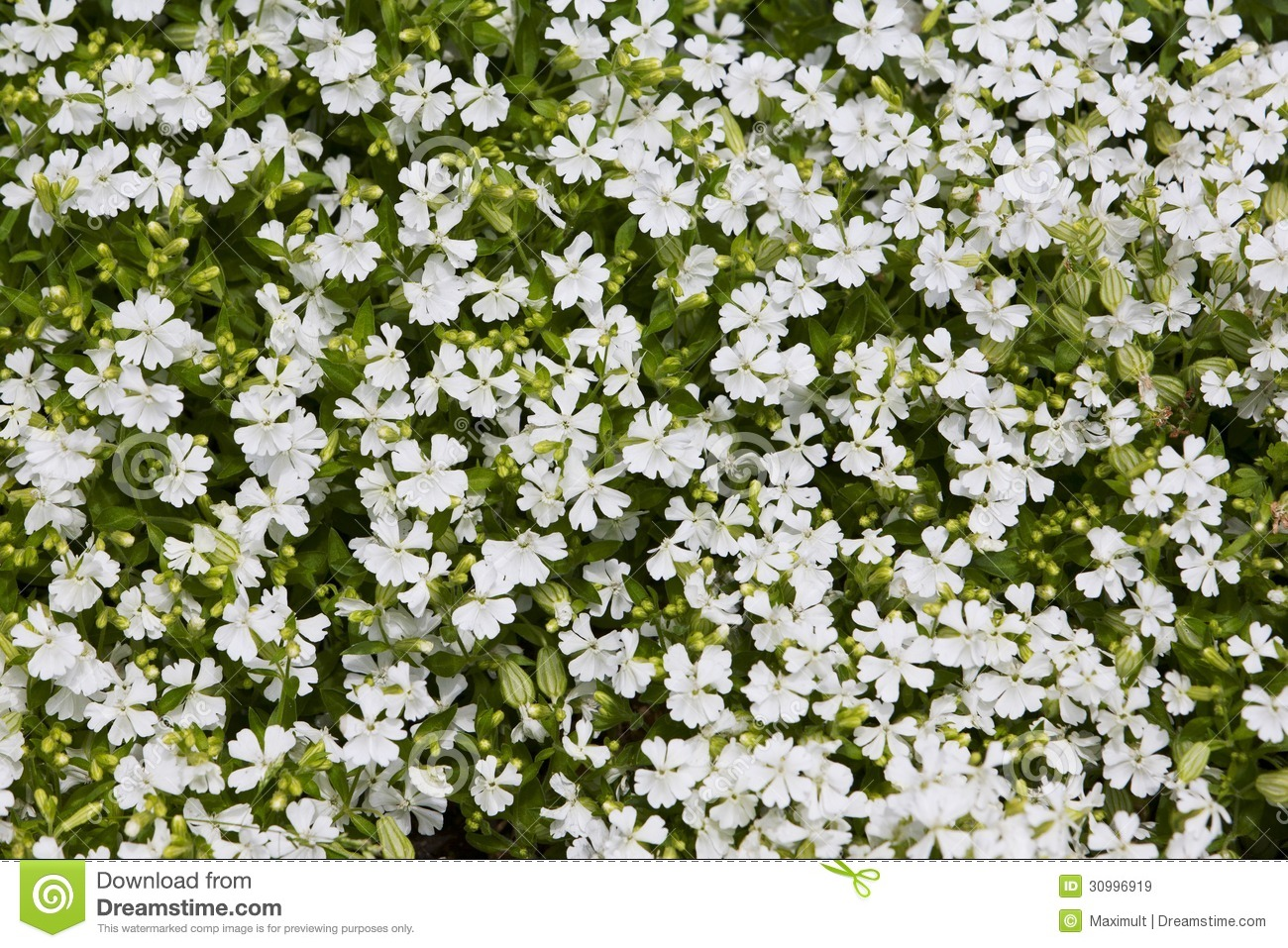Natural herbal background small white flowers stock image image of natural herbal background small white flowers mightylinksfo