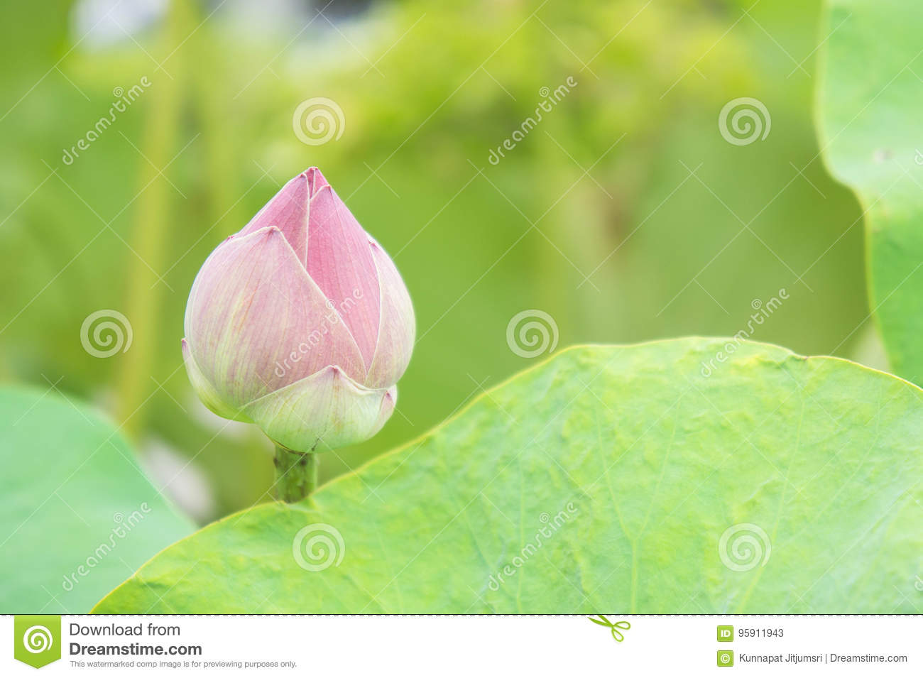 Natural Lotus Flower On Holy Day Lotus Or Waterlilly Stock Image
