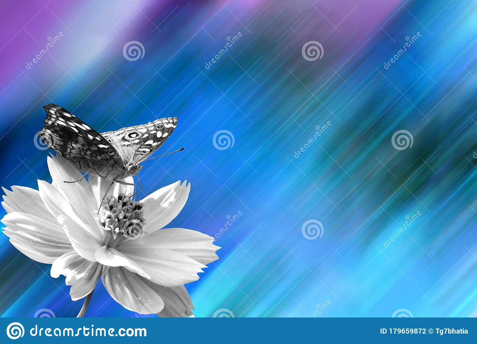Desktop Wallpaper Butterfly Sip Nectar Of Cosmos Flower Stock Photo Image Of Desktop Aspect 179659872