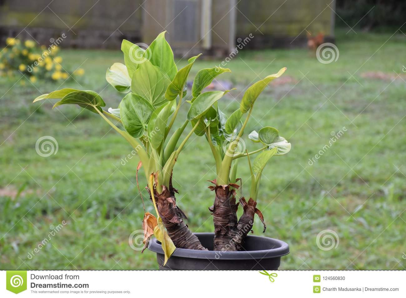 Natural Plant Of Sri Lanka Stock Photo Image Of Flower 124560830