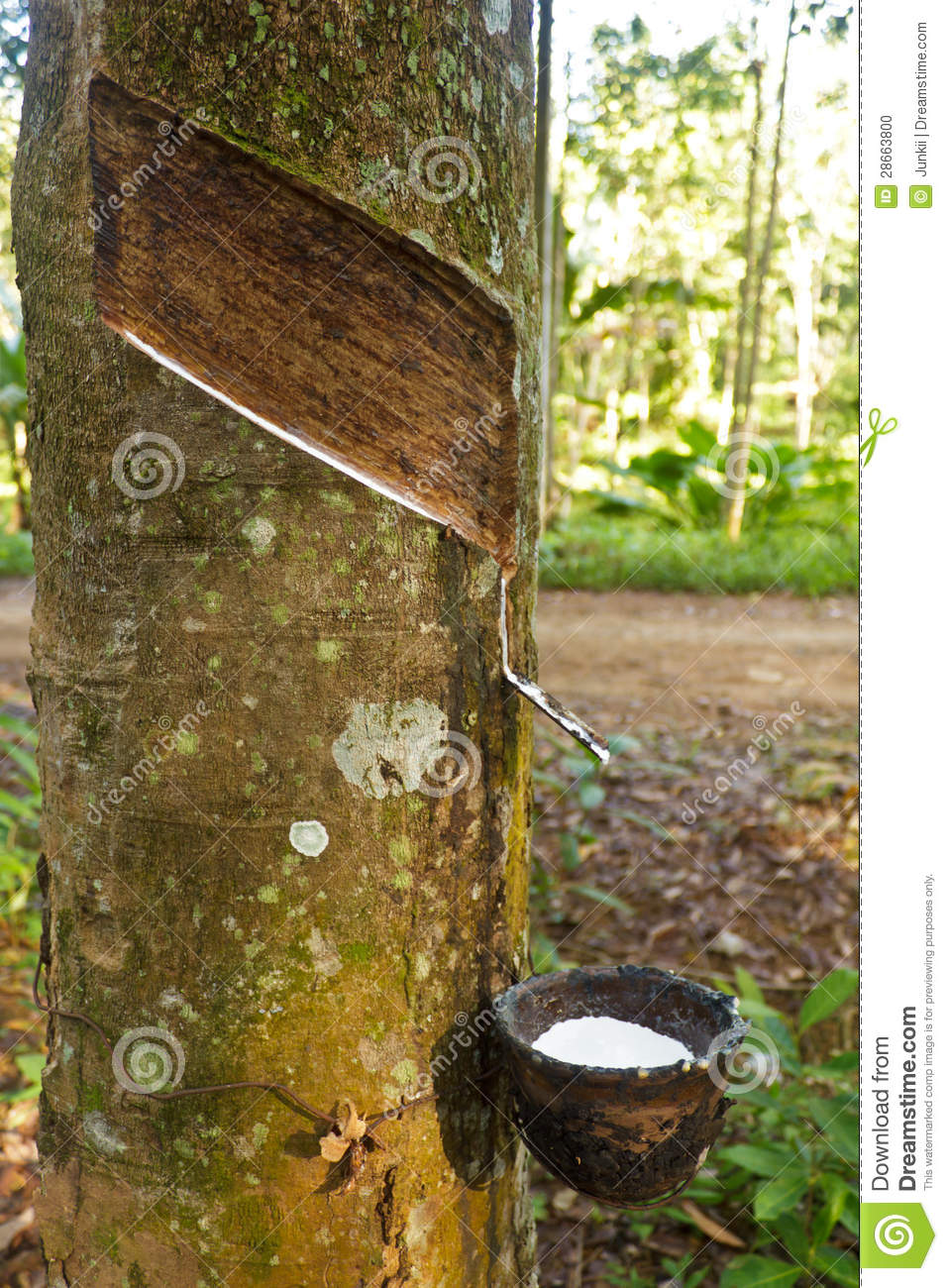 Natural Rubber Harvest Stock Photo Image Of Plantation