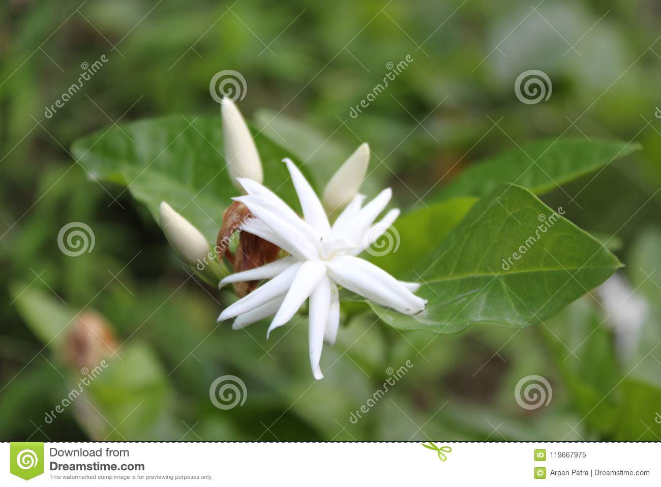 Good Morning Picture Of Jasmine Flower Stock Image Image Of Good