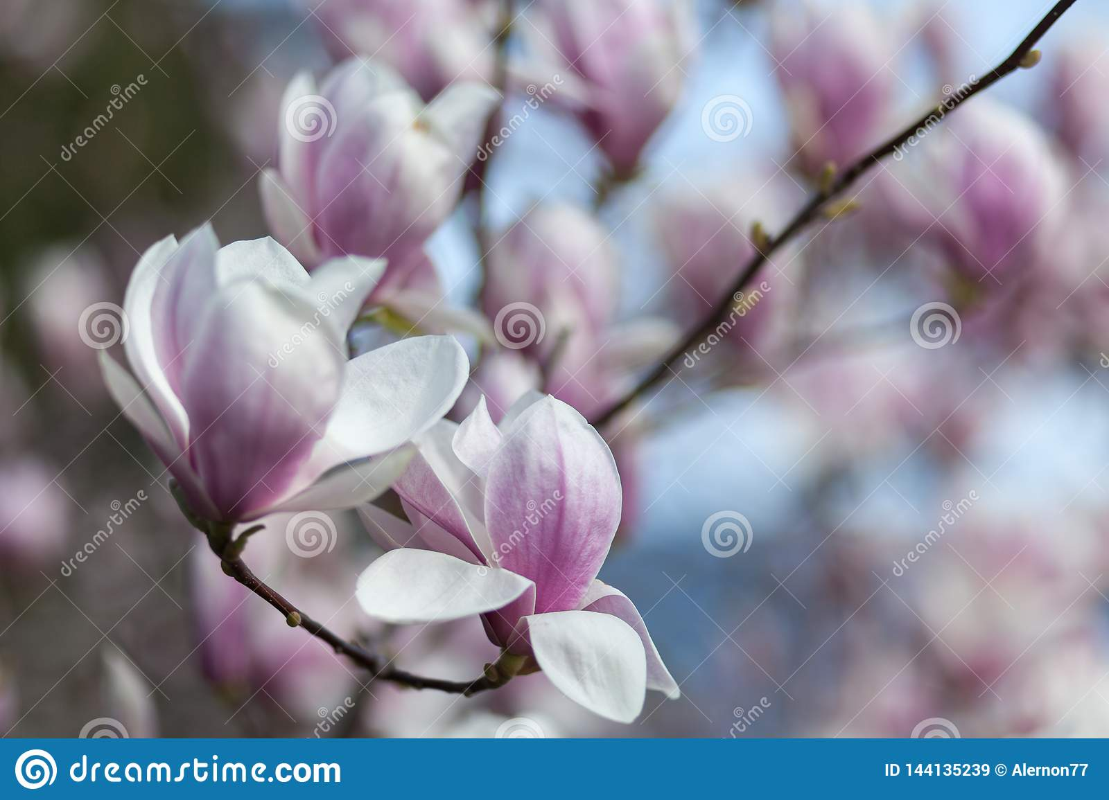 Natural spring flower, many blooming beauty flowers
