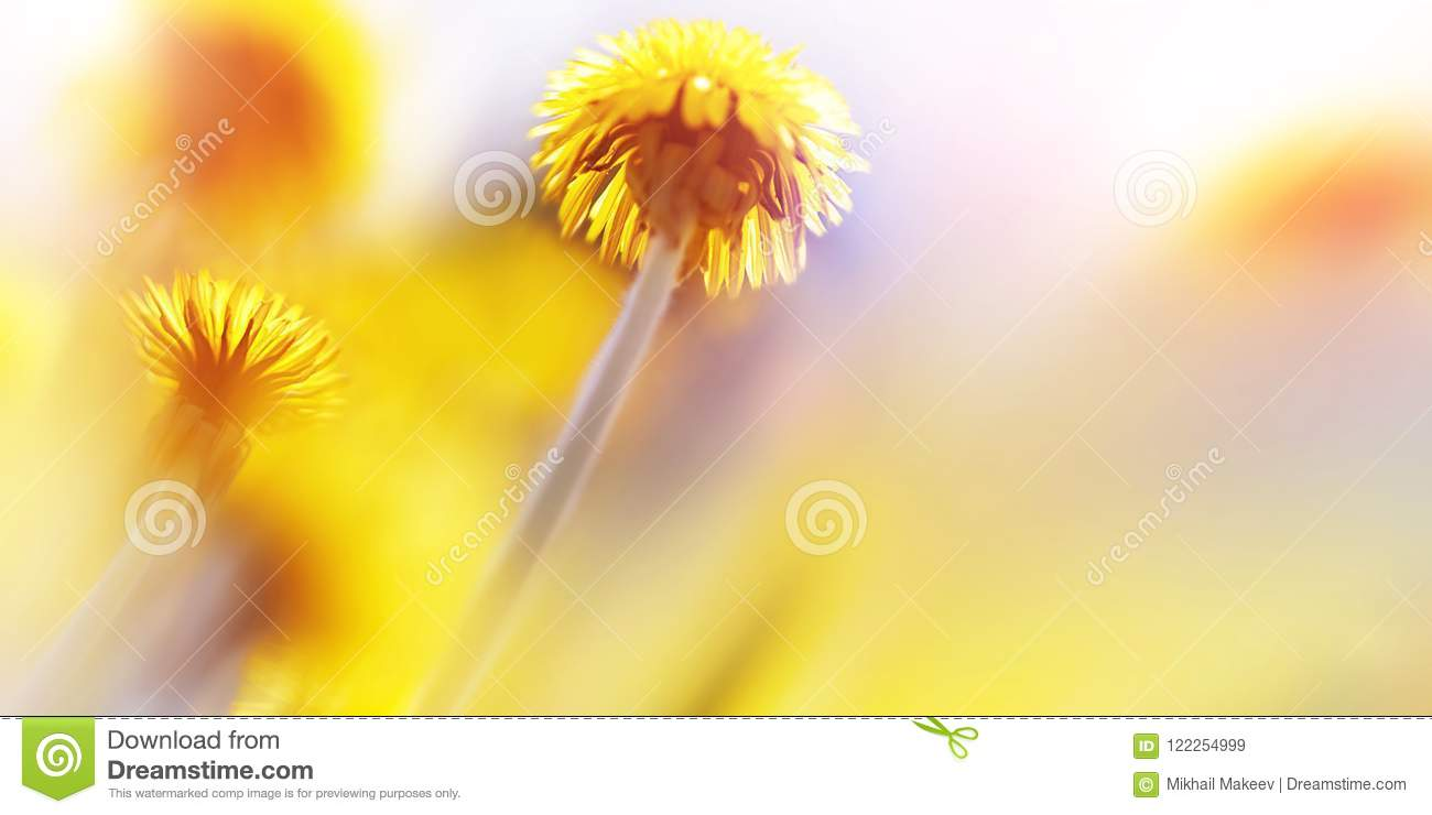 Natural summer background. Beautiful yellow dandelions in the sunlight. Artistic macro image. Free space