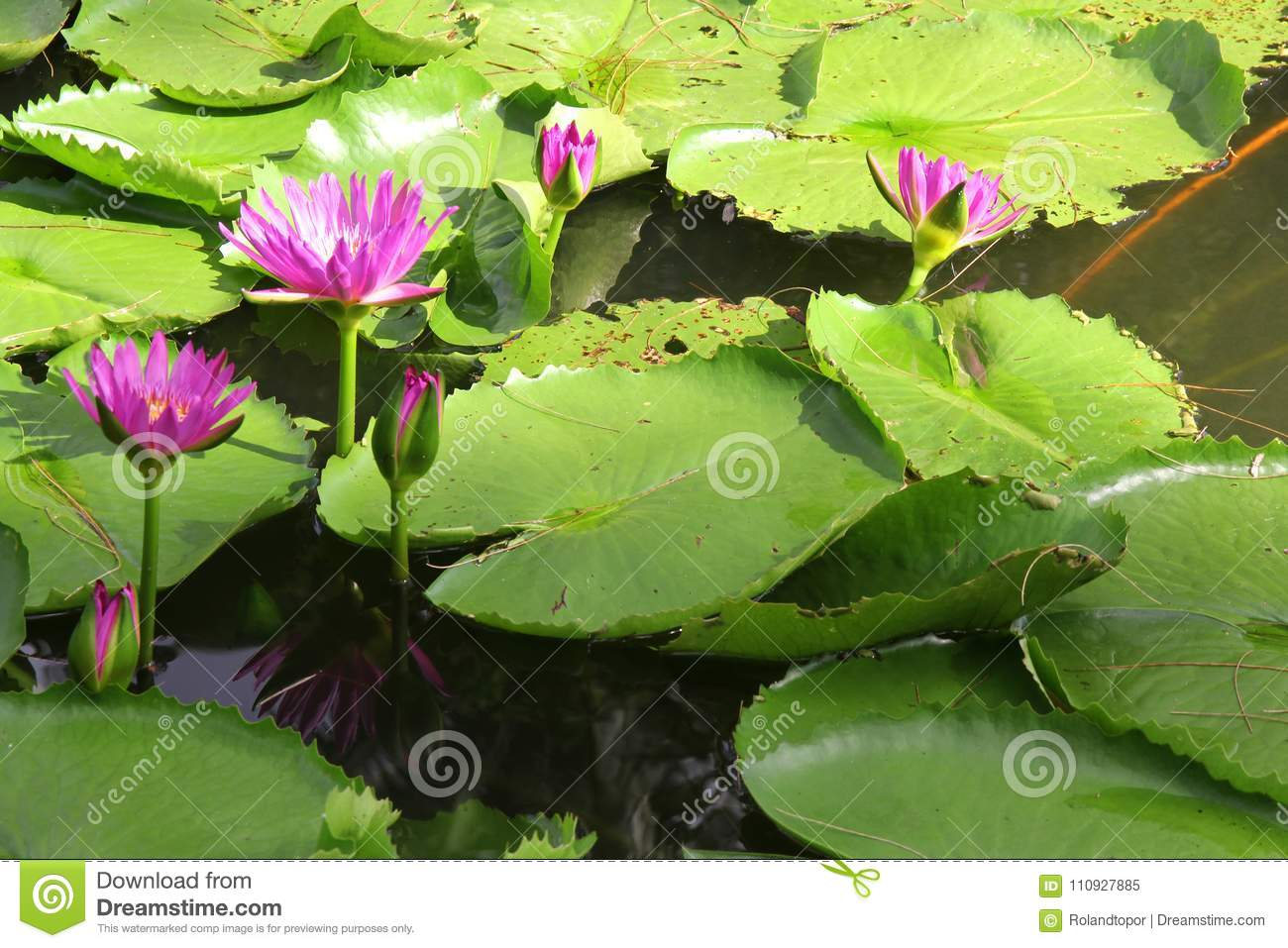 Natural water lily flowers color picture and image stock image download natural water lily flowers color picture and image stock image image of izmirmasajfo