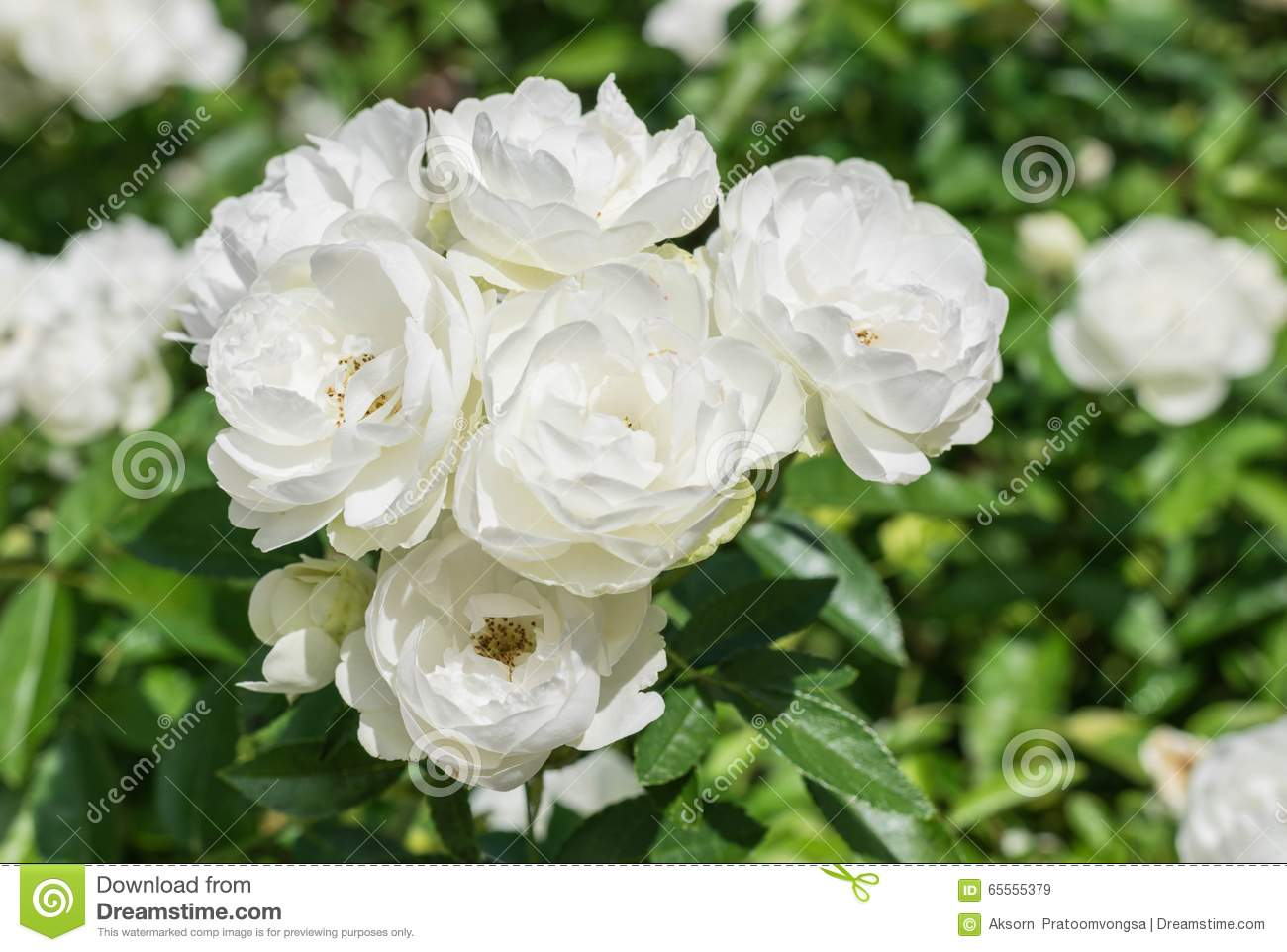 Natural white rose flower stock image image of fresh 65555379 natural white rose flower mightylinksfo