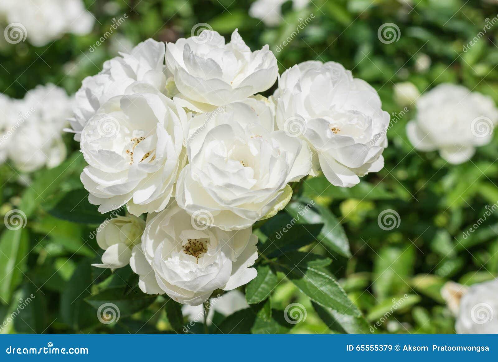 Natural White Rose Flower Stock Image Image Of Fresh 65555379
