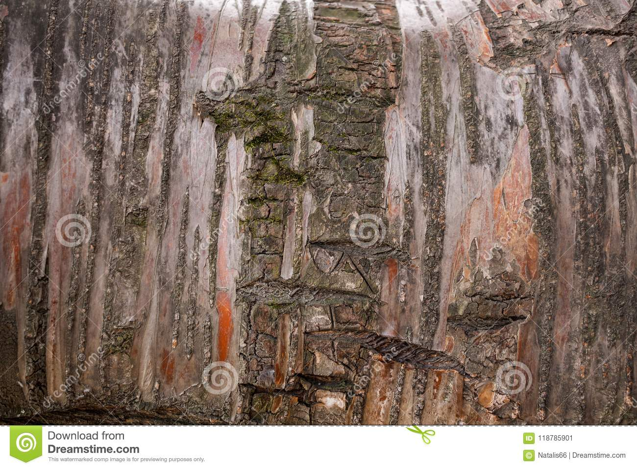 Uneven and nonuniform brown-red tree striped bark with lichen as background.