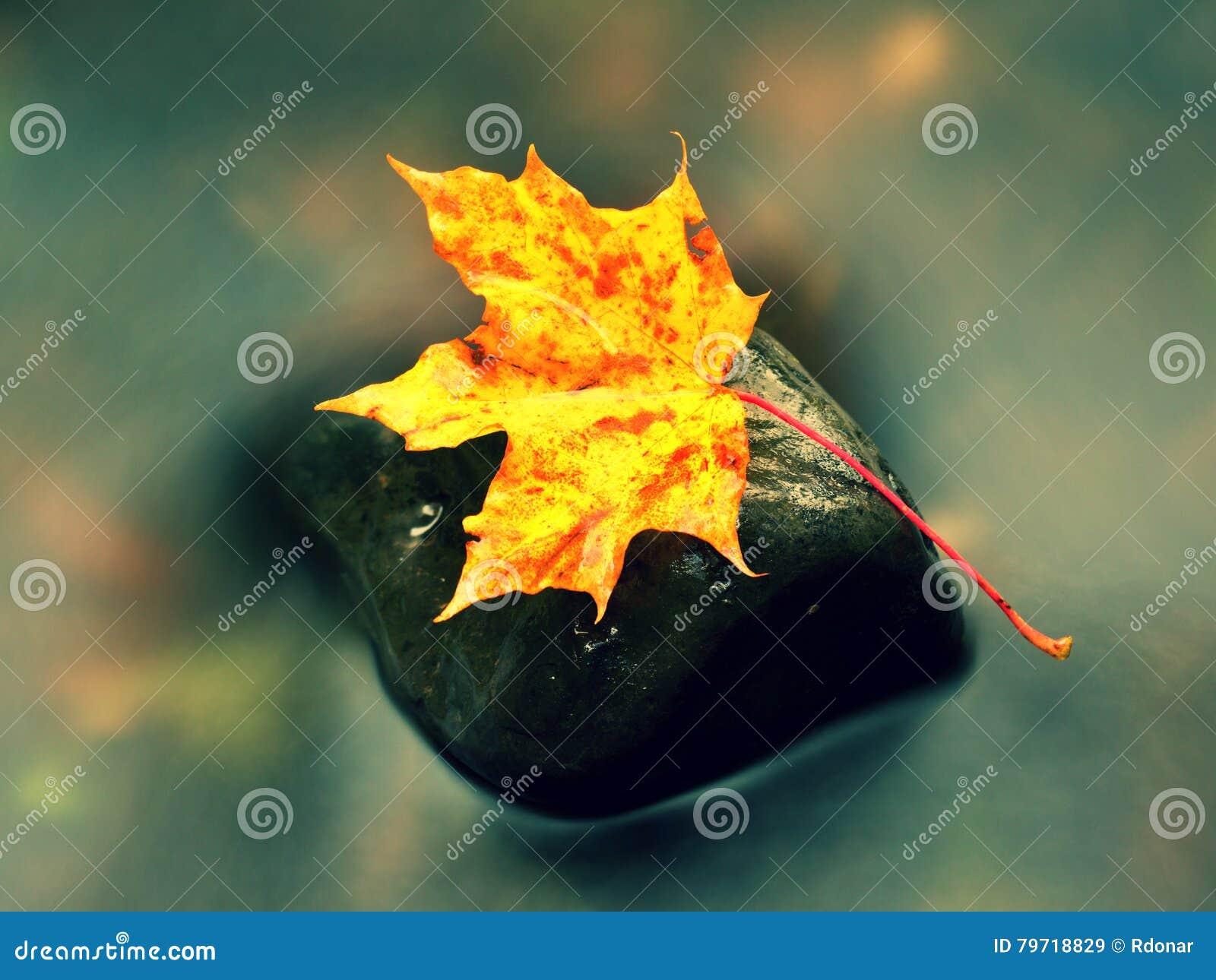 Naturaleza del otoño Detalle de la hoja de arce putrefacta del rojo anaranjado Hoja de la caída en piedra