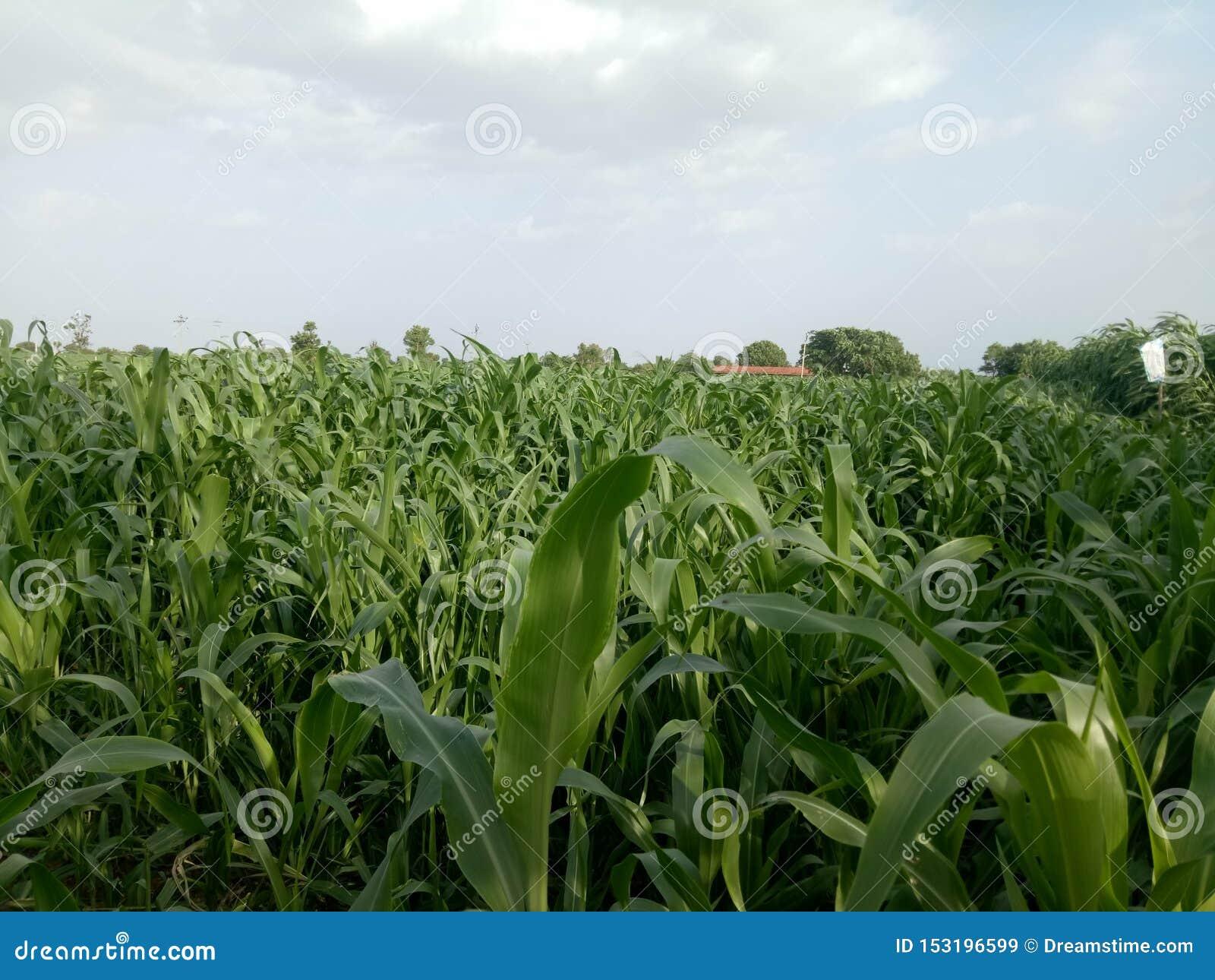 Naturalna kukurudza chuchu roślina