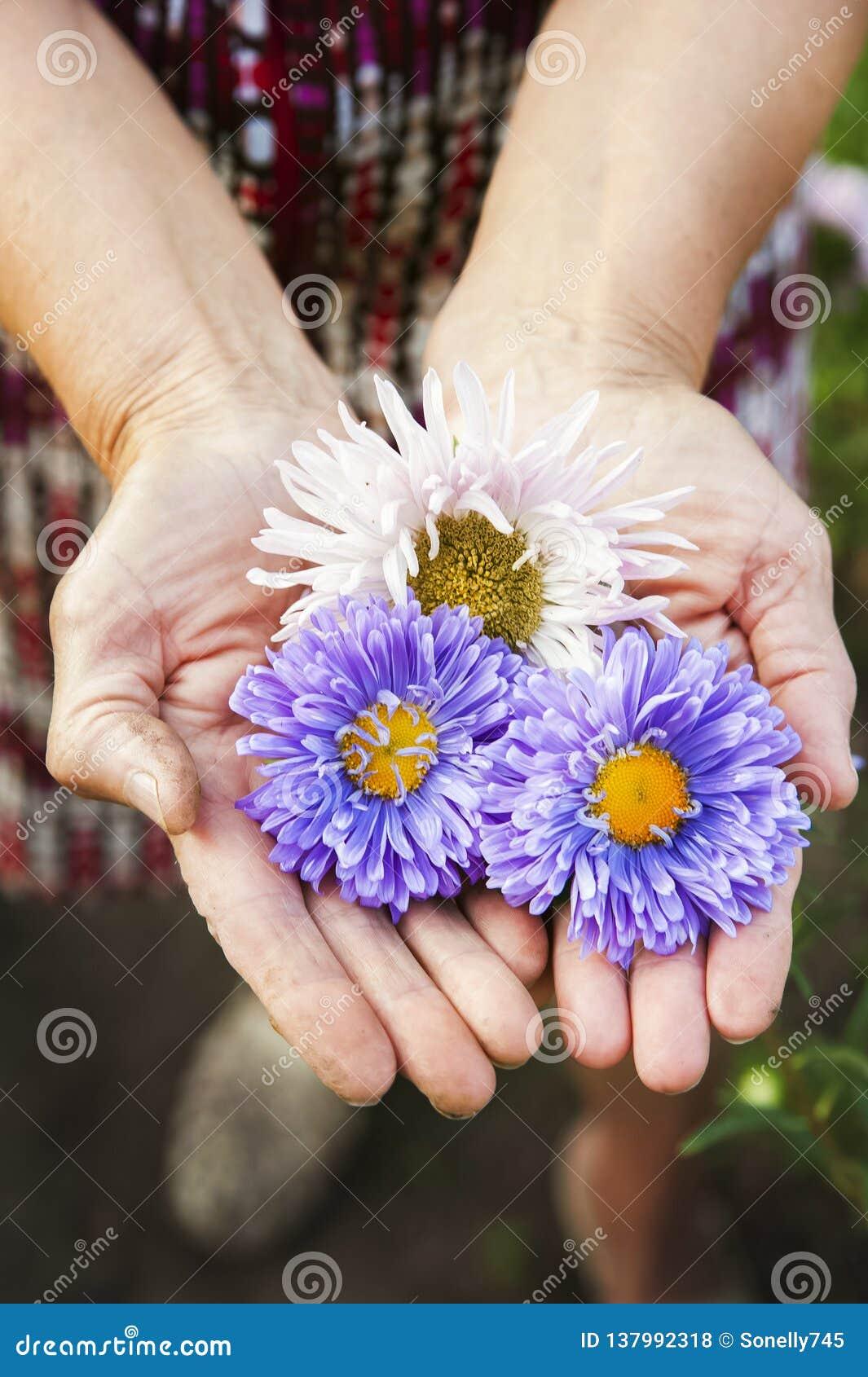 Naturalna tekstura kwiatów astery Stubarwni astery w marszczyć rękach osoba w górę starsza kopii przestrzeń i