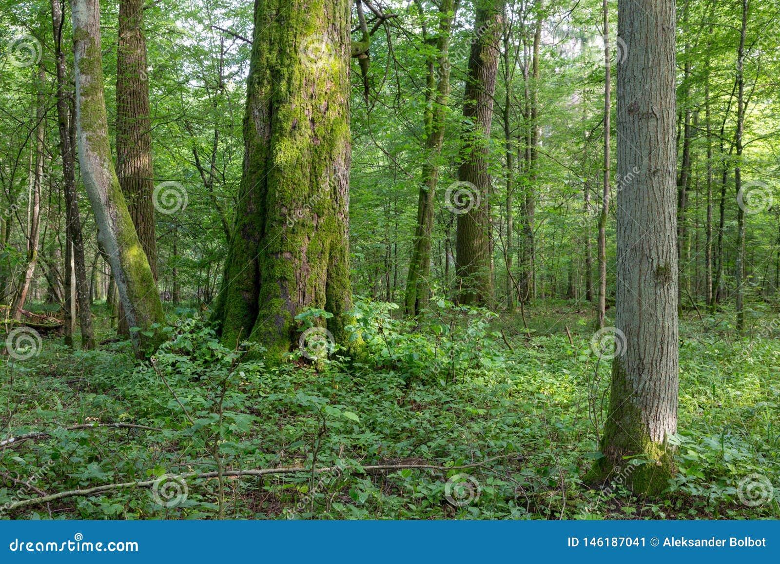 Naturalny mieszany stojak Bialowieza las